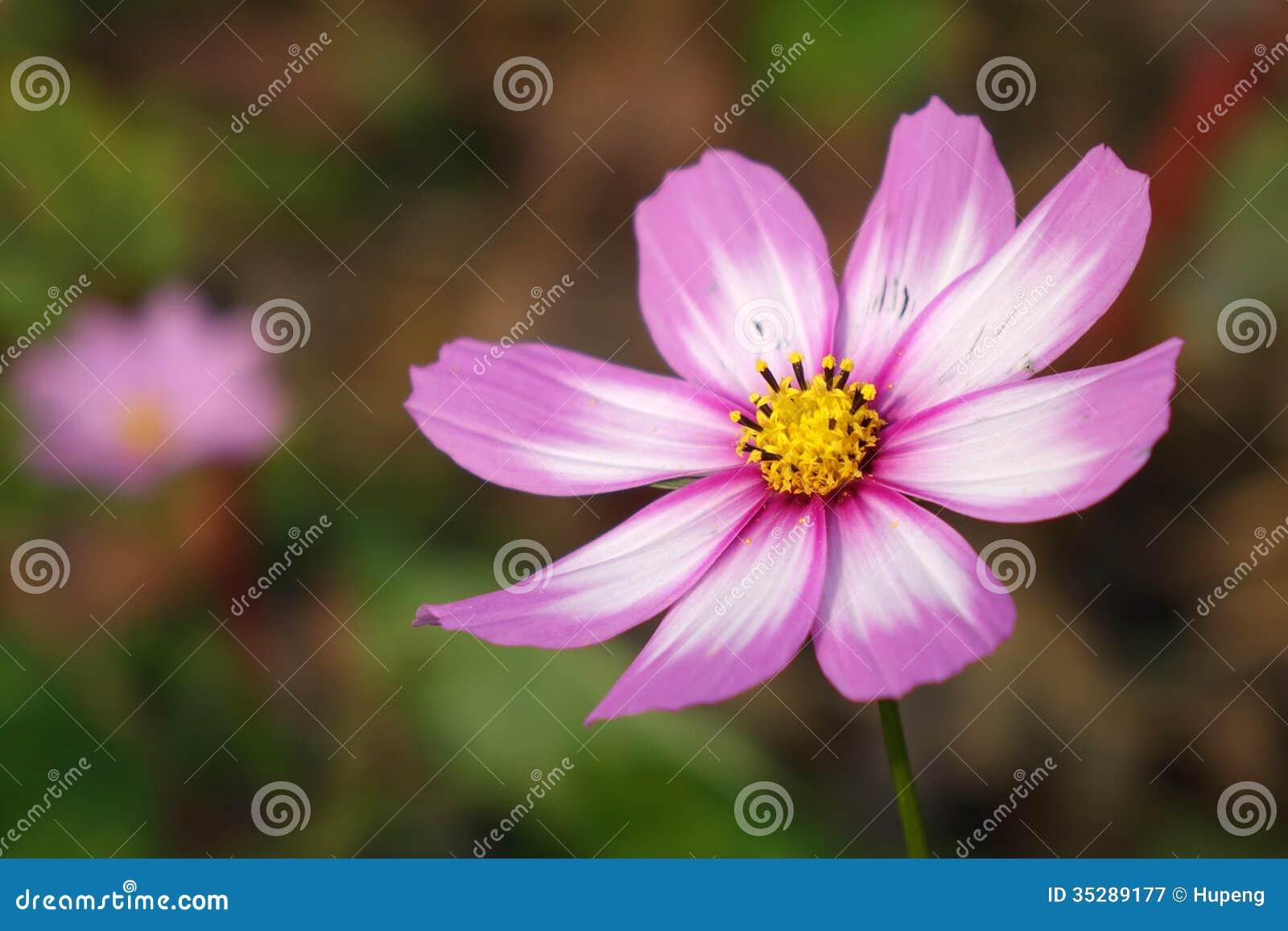 Eine Coreopsisblume