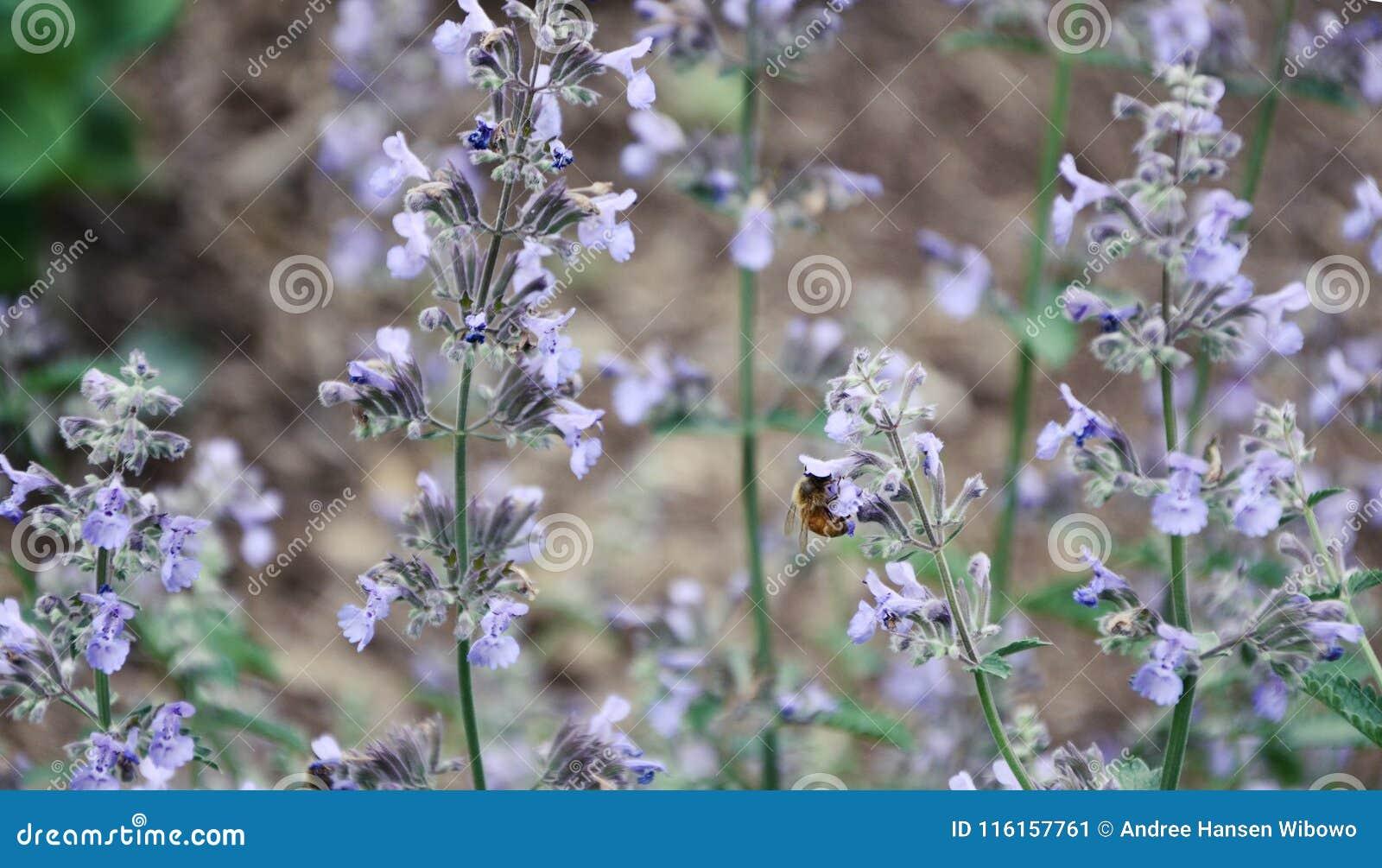 Eine einzelne Biene, die purpurrote Blumen bestäubt