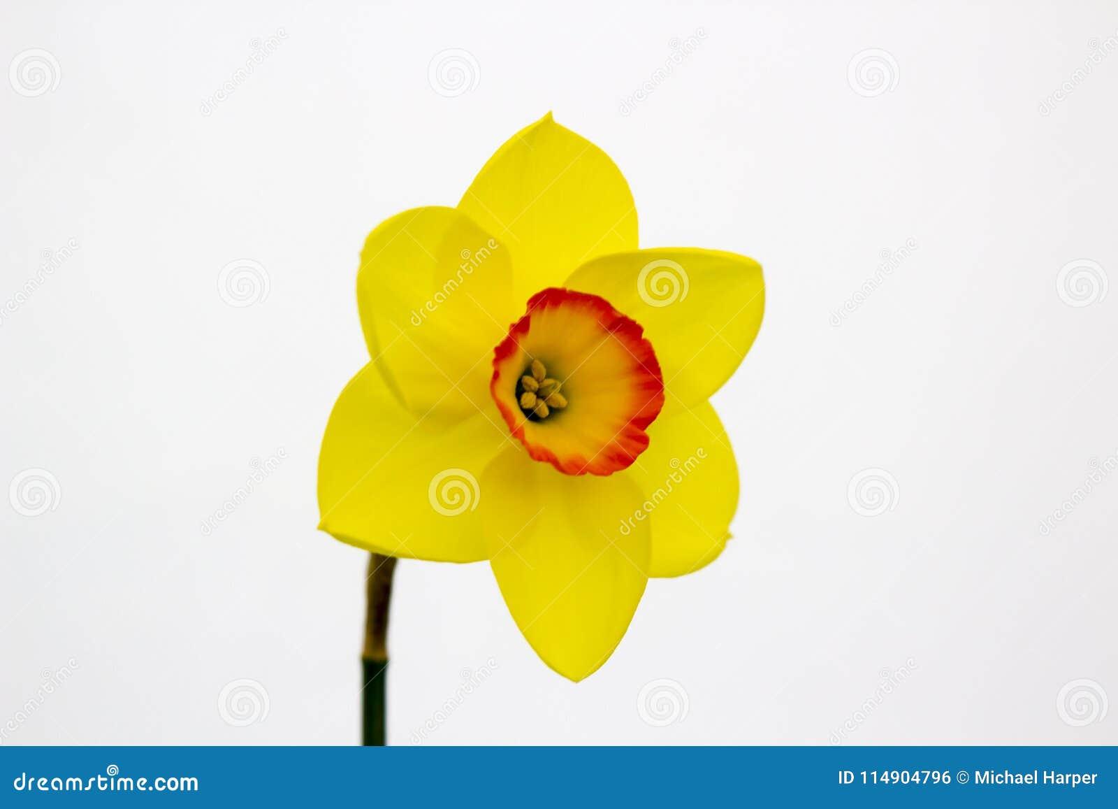 Eine einzelne Narzissenblüte auf Anzeige im Junior School-Abschnitt des jährlichen Frühlingsfests gehalten in Barnett-` s Demesne