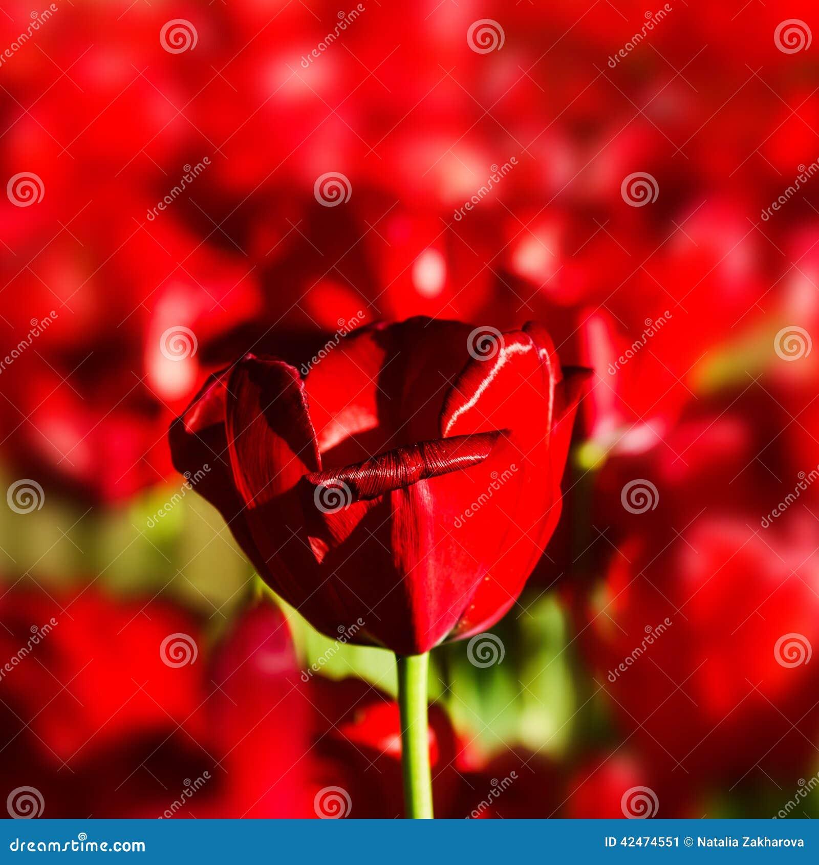 Eine einzelne Tulpe über roter Blumenhintergrundbeschaffenheit