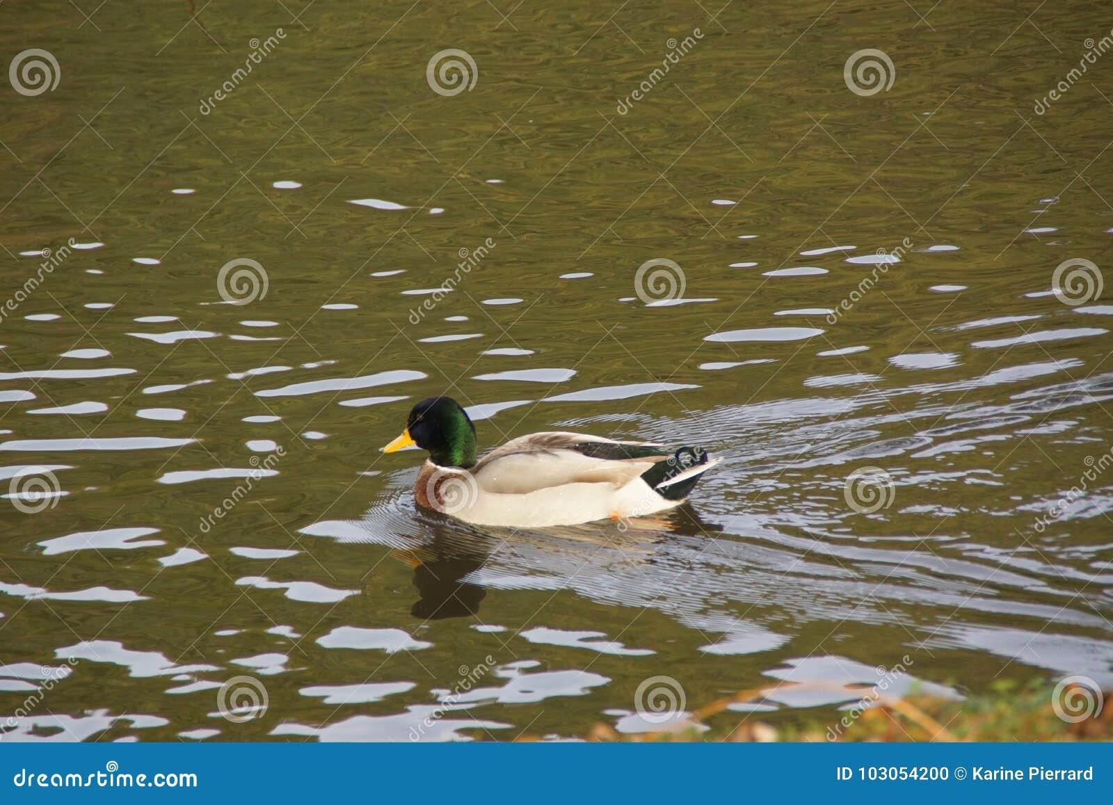 Eine Ente Stockente im wasser- die Natur ist schön