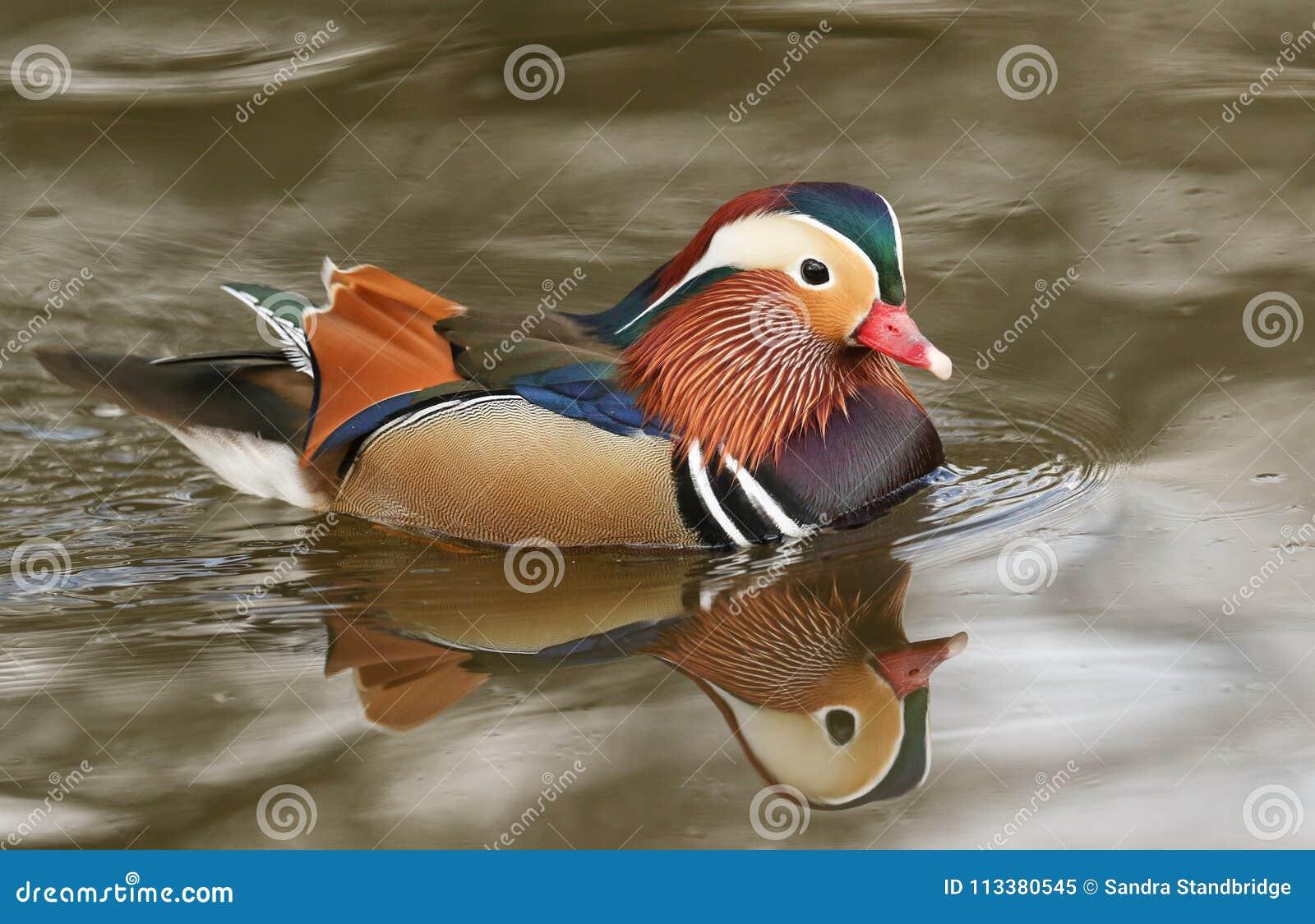Eine erstaunliche männliche Mandarinenente AIX galericulata Schwimmen in einem See