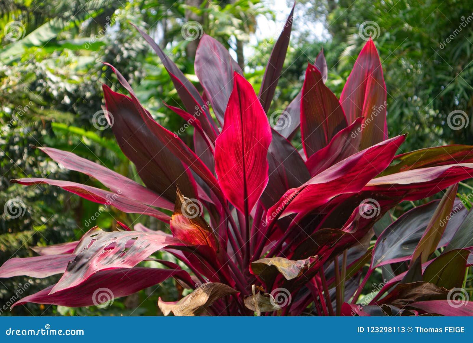 Eine Fotografie einer tropischen Cordyline fruticosa Anlage