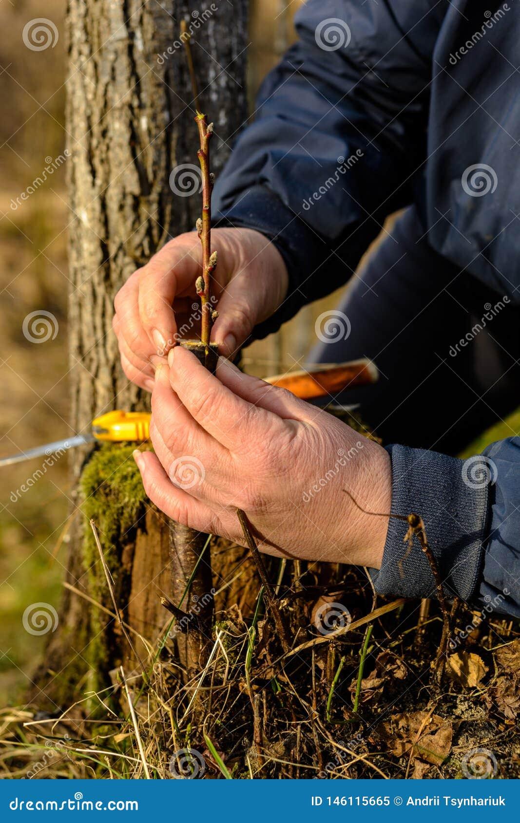 Eine Frau macht einen Obstbaum im Garten und befestigt einen jungen Zweig