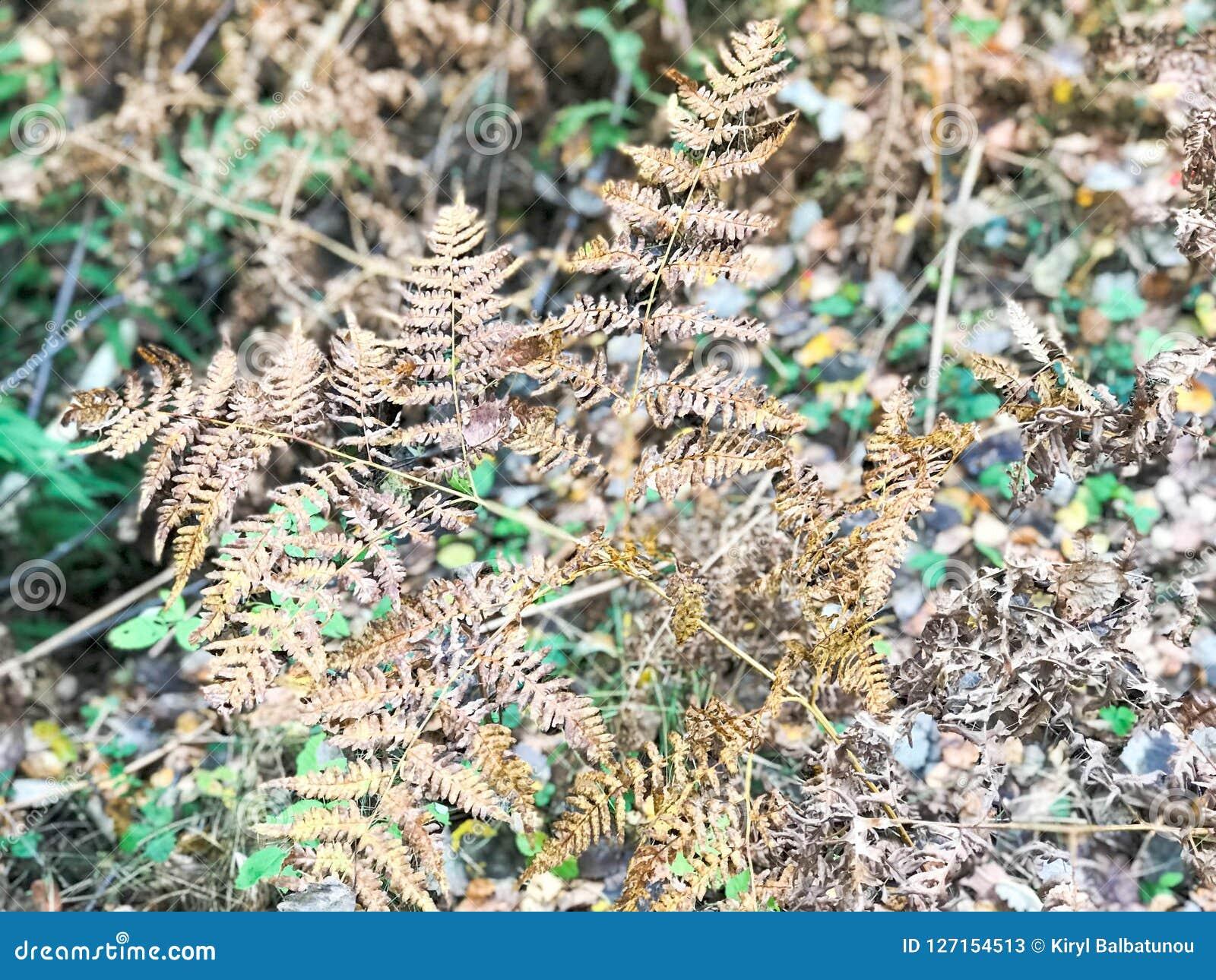 Eine getrocknete Niederlassung eines ferny Farns im hellen Herbstgelb und frische grüne Blätter und Gras im Wald der Hintergrund
