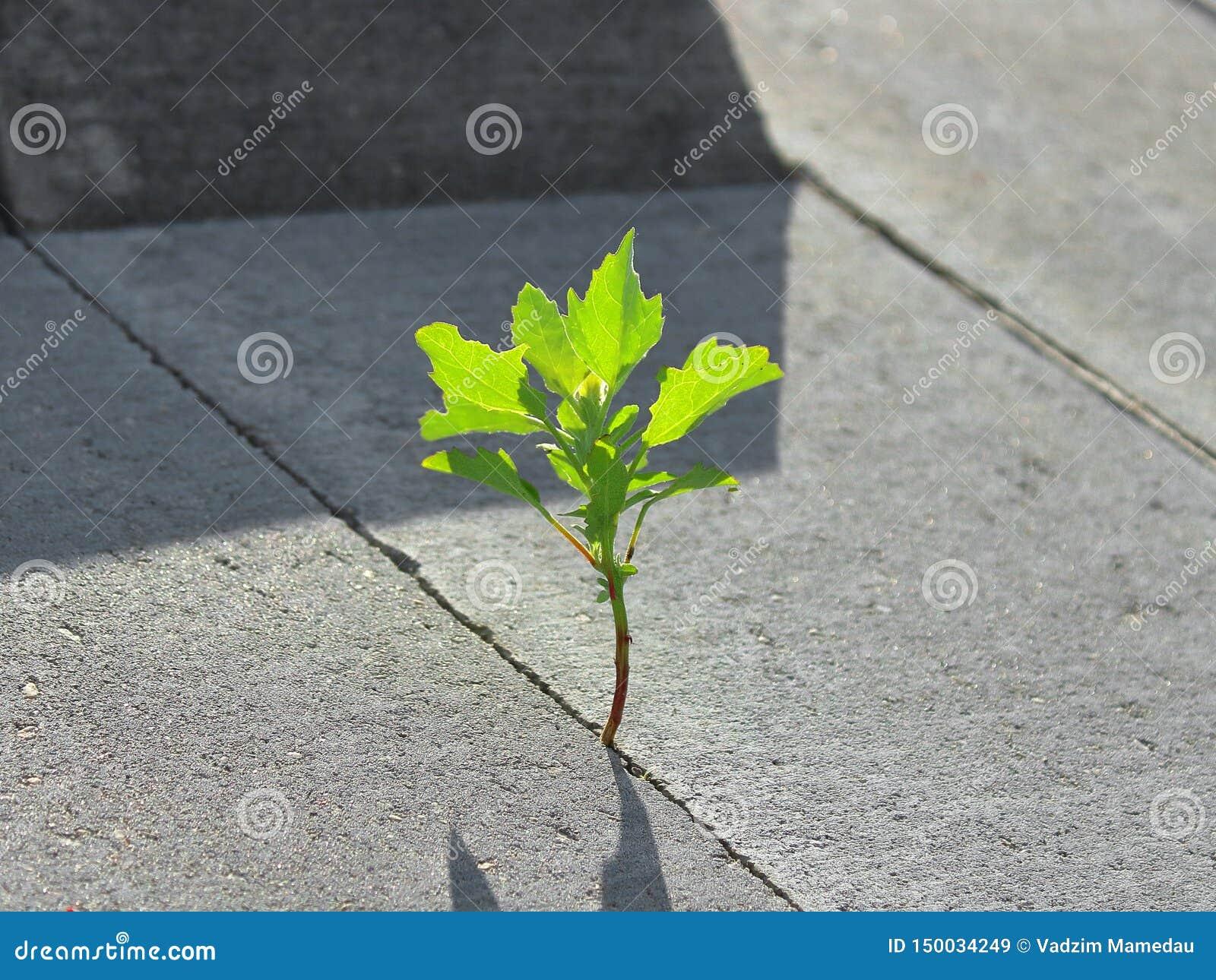 Eine Grünpflanze hat durch Beton gebrochen