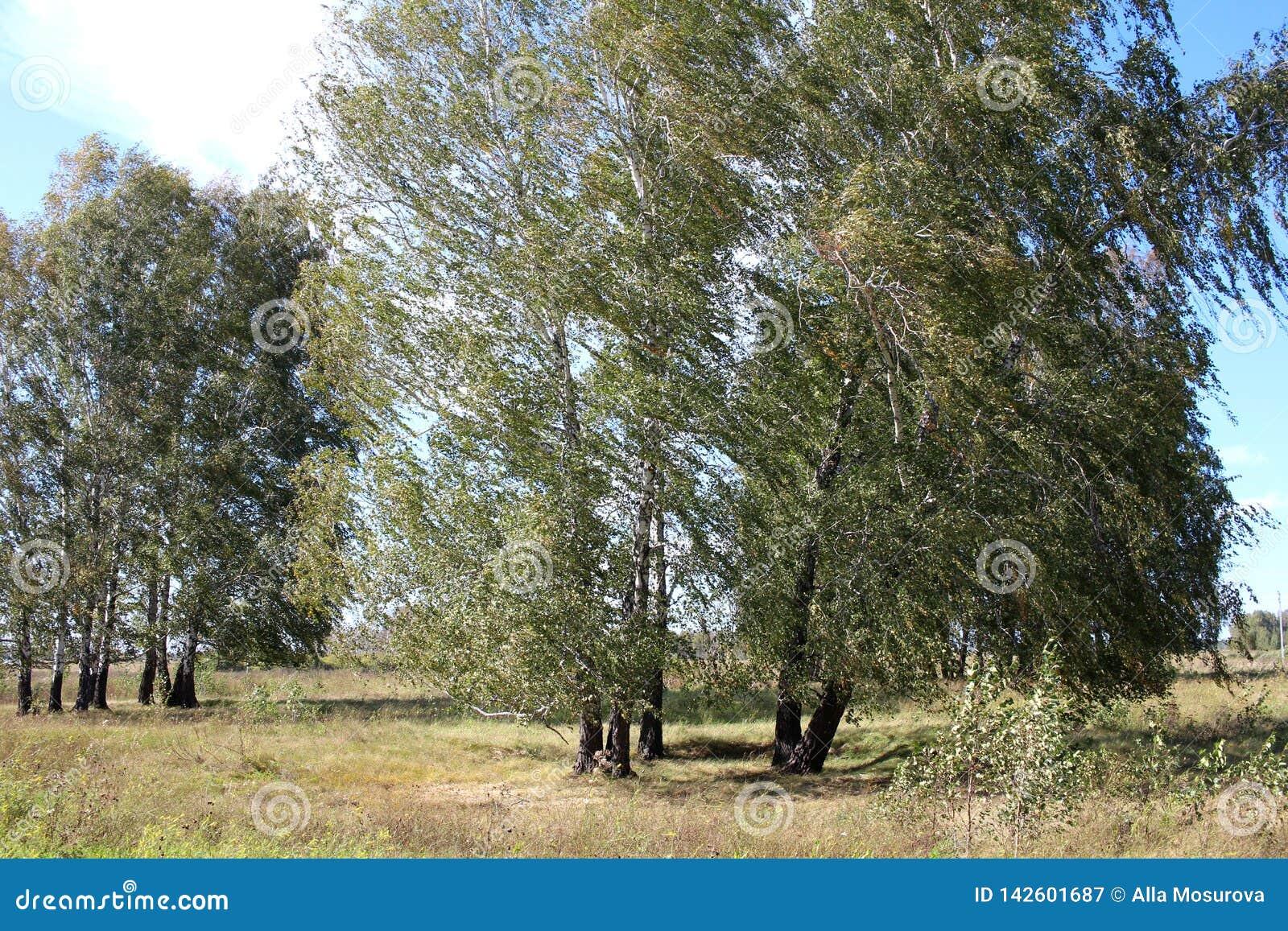 Eine große Baumbirke im Sommer auf dem Gebiet, das unter dem Druck der Niederlassungen des starken Winds verbogen wurde, dehnte