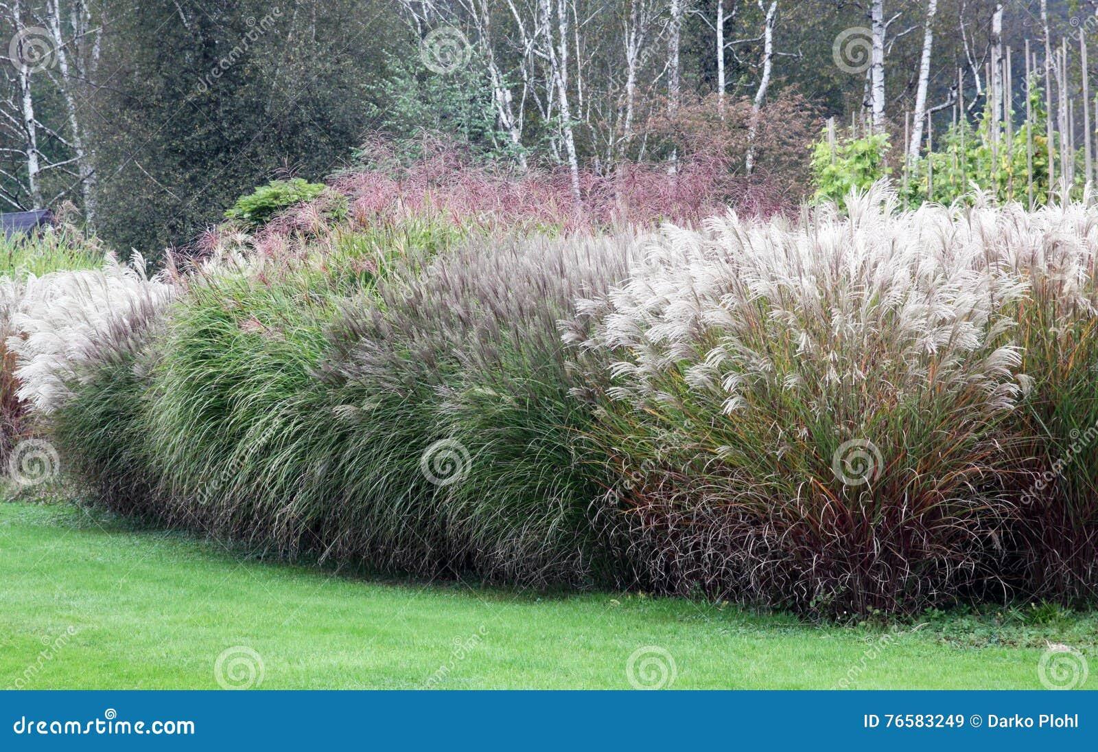 Grosse Gräser eine große gruppe hoch wachsende dekorative gräser stockbild