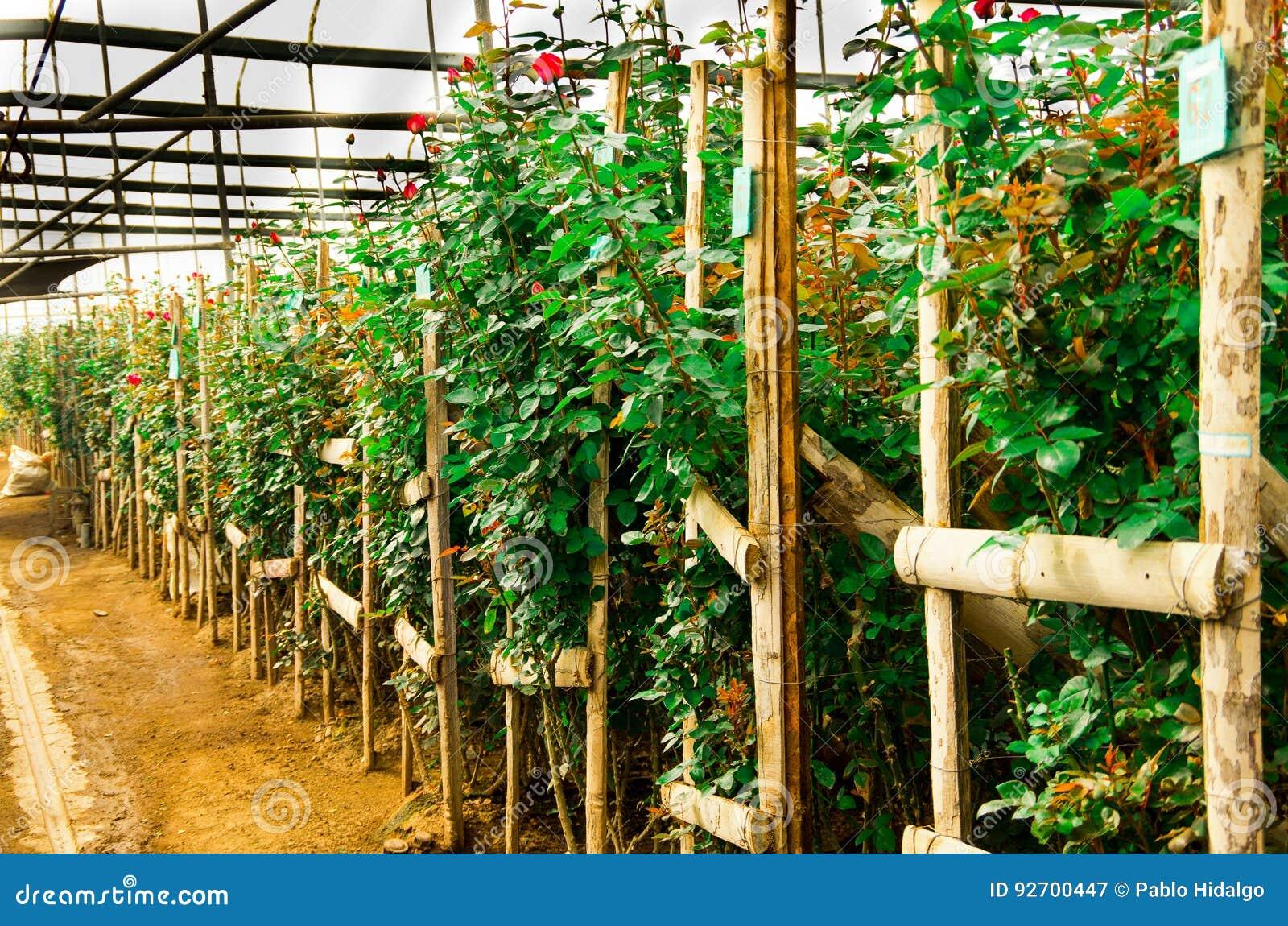 Eine Grosse Gruppe Rote Rosen In Einem Gewachshaus Stockbild Bild