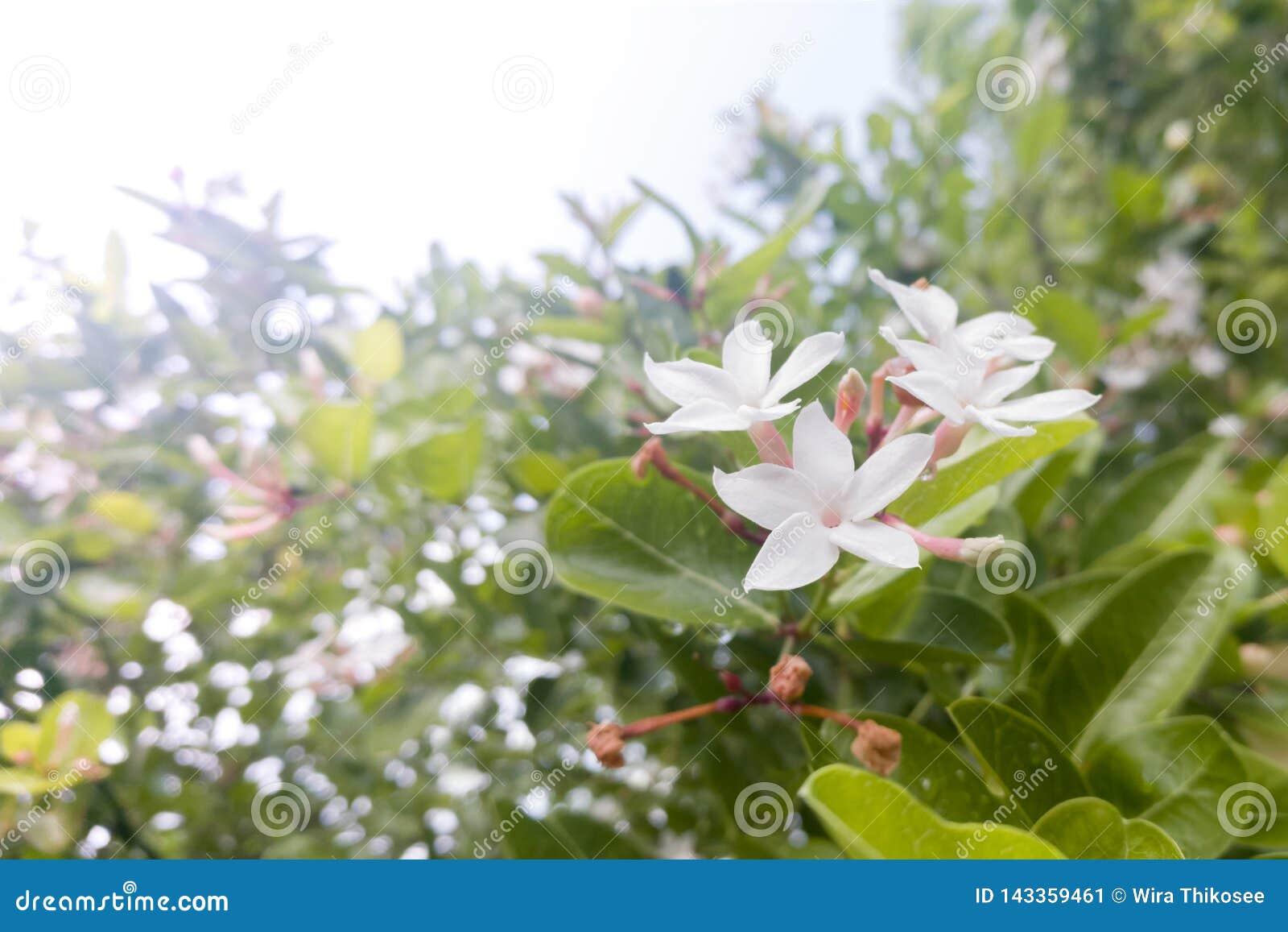 Eine Gruppe der weißen Blume im Unschärfeblatthintergrund nachdem dem Regnen