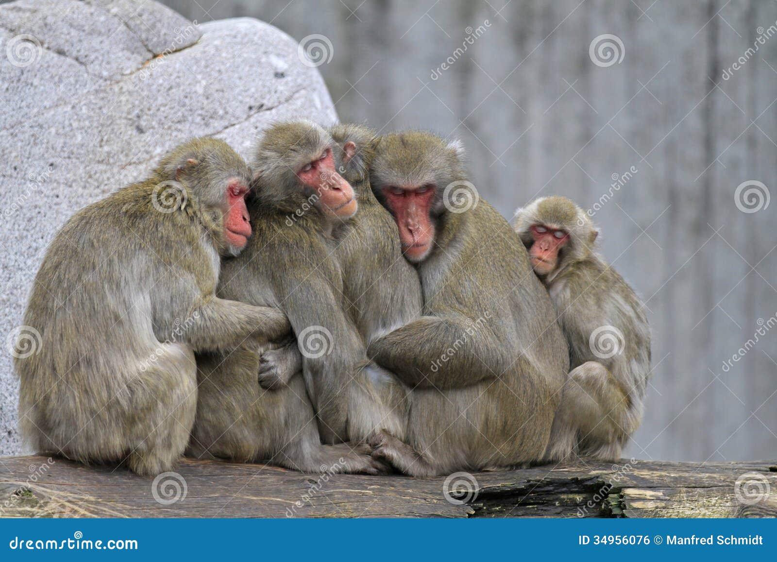 Eine Gruppe des japanischen Makakens