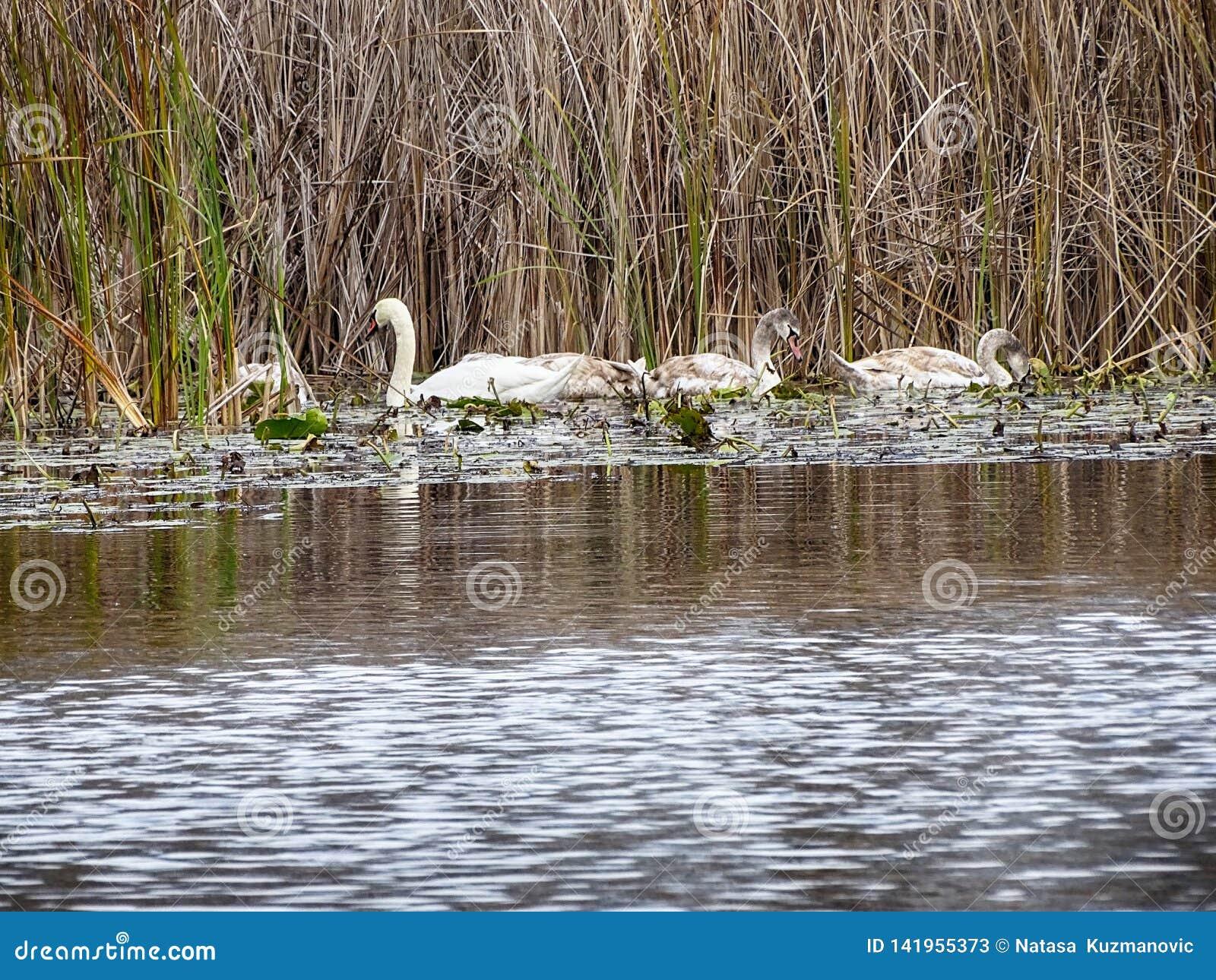 Eine Gruppe des jungen Schwanschwimmens ruhig im Wasser