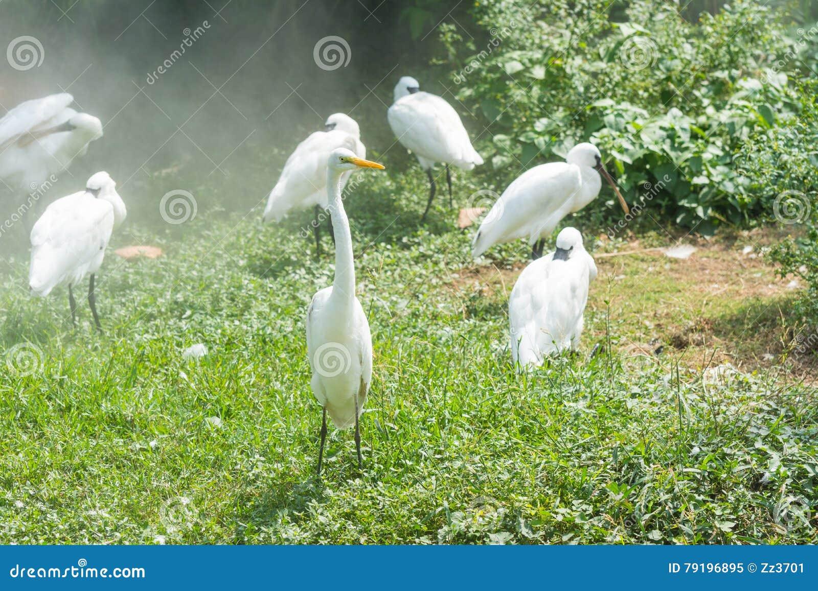 weiße fischreiher