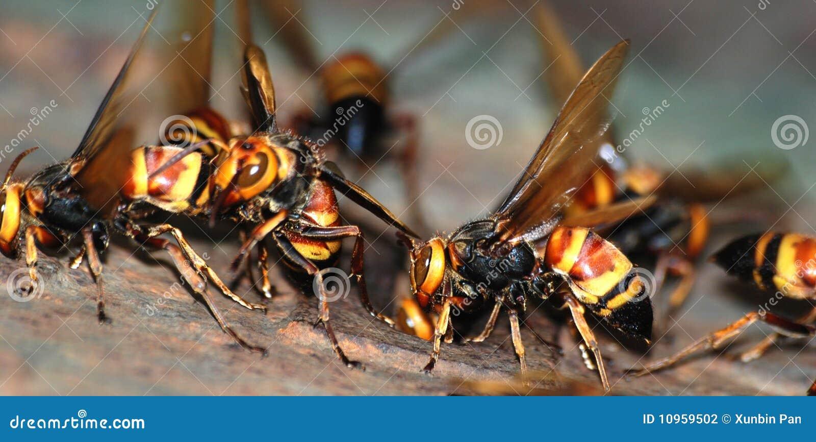 Eine Gruppe Wespen Makro