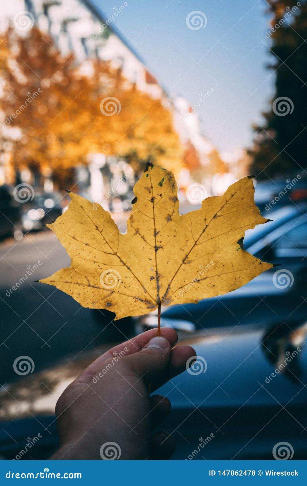 Eine Hand, die ein großes goldenes Ahornblatt hält