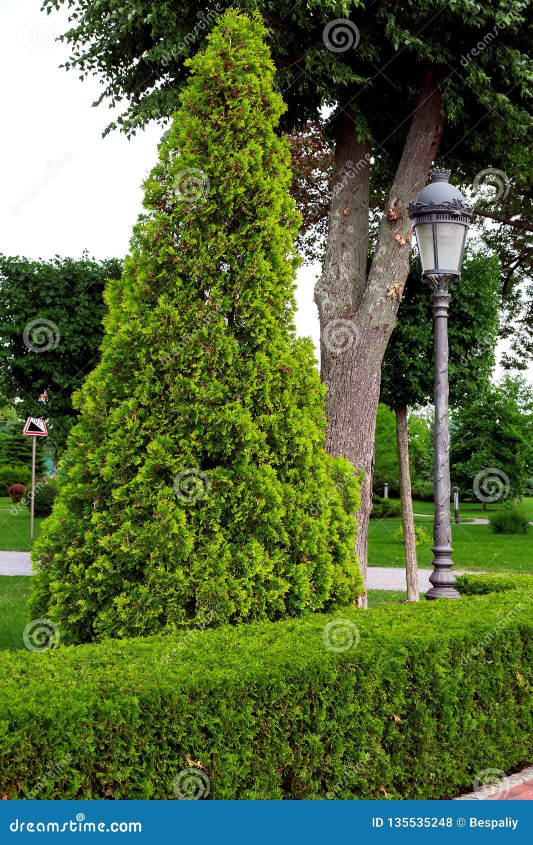 Eine Hecke von getrimmten laubwechselnden Büschen