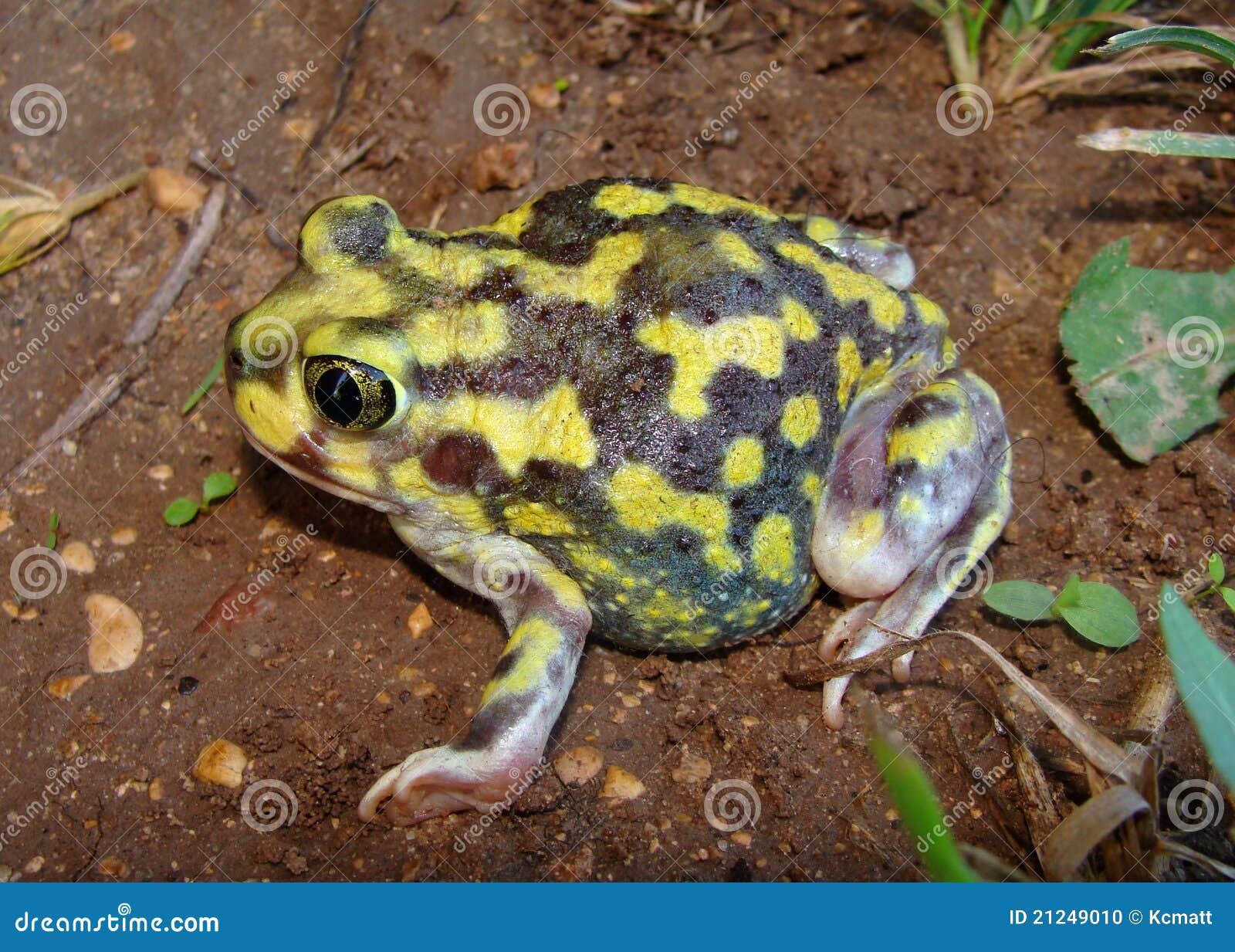 Eine helle gelbe Kröte, die Spadefoot Kröte
