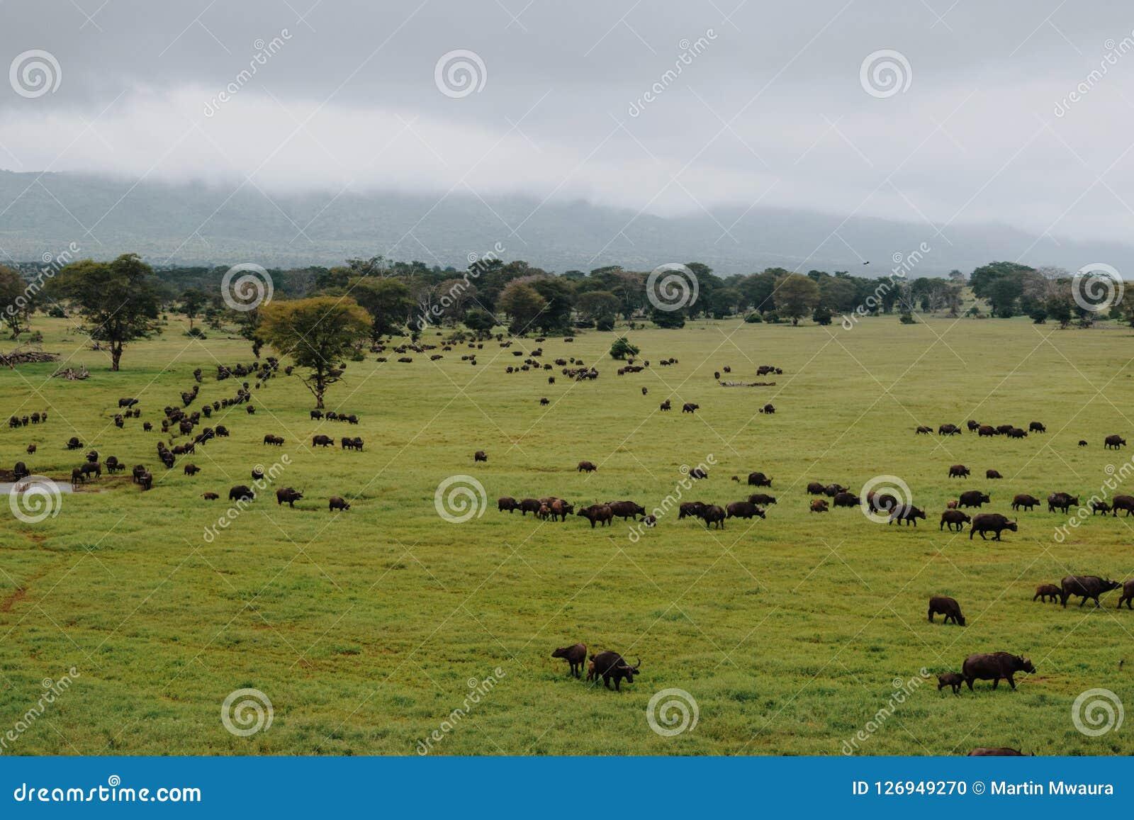 Eine Herde von Büffeln am Taita-Hügelnaturschutzgebiet, Kenia