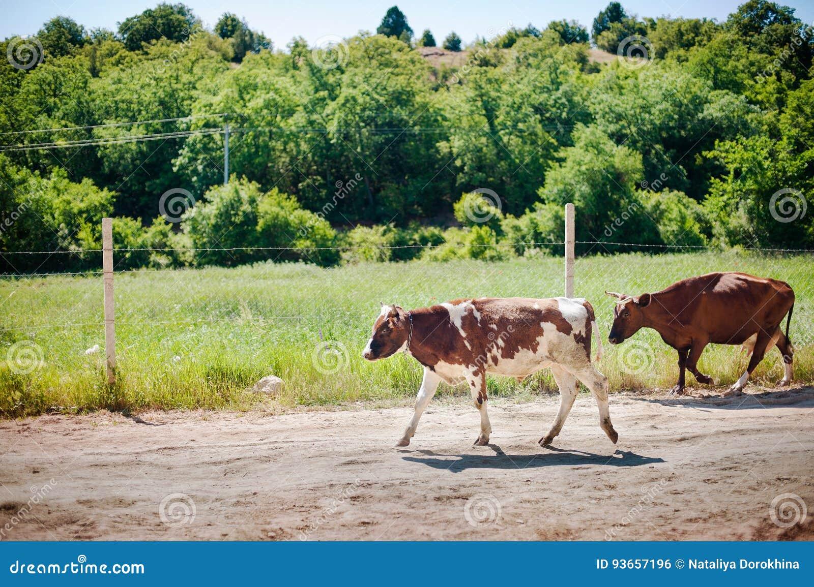Eine Herde von Kühen auf der Straße, die nach Hause geht