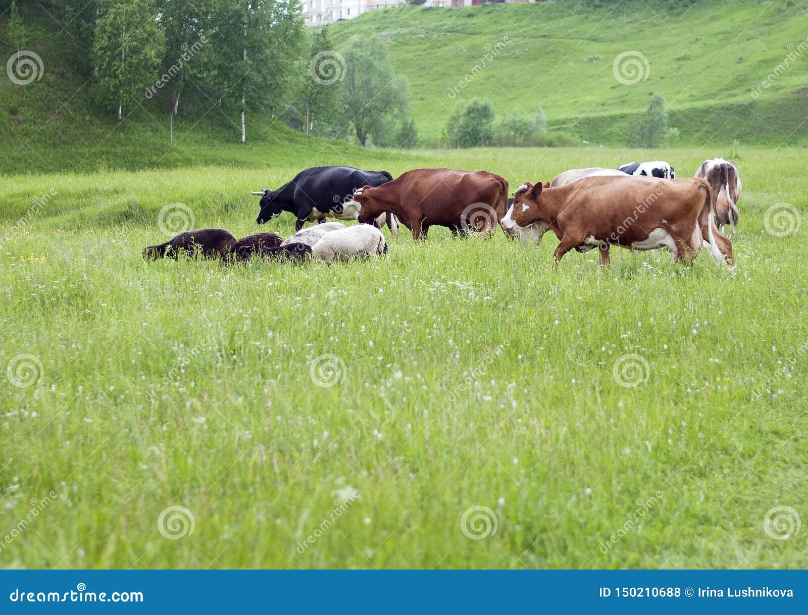 Eine Herde von Kühen und Schafe lassen in der Wiese weiden