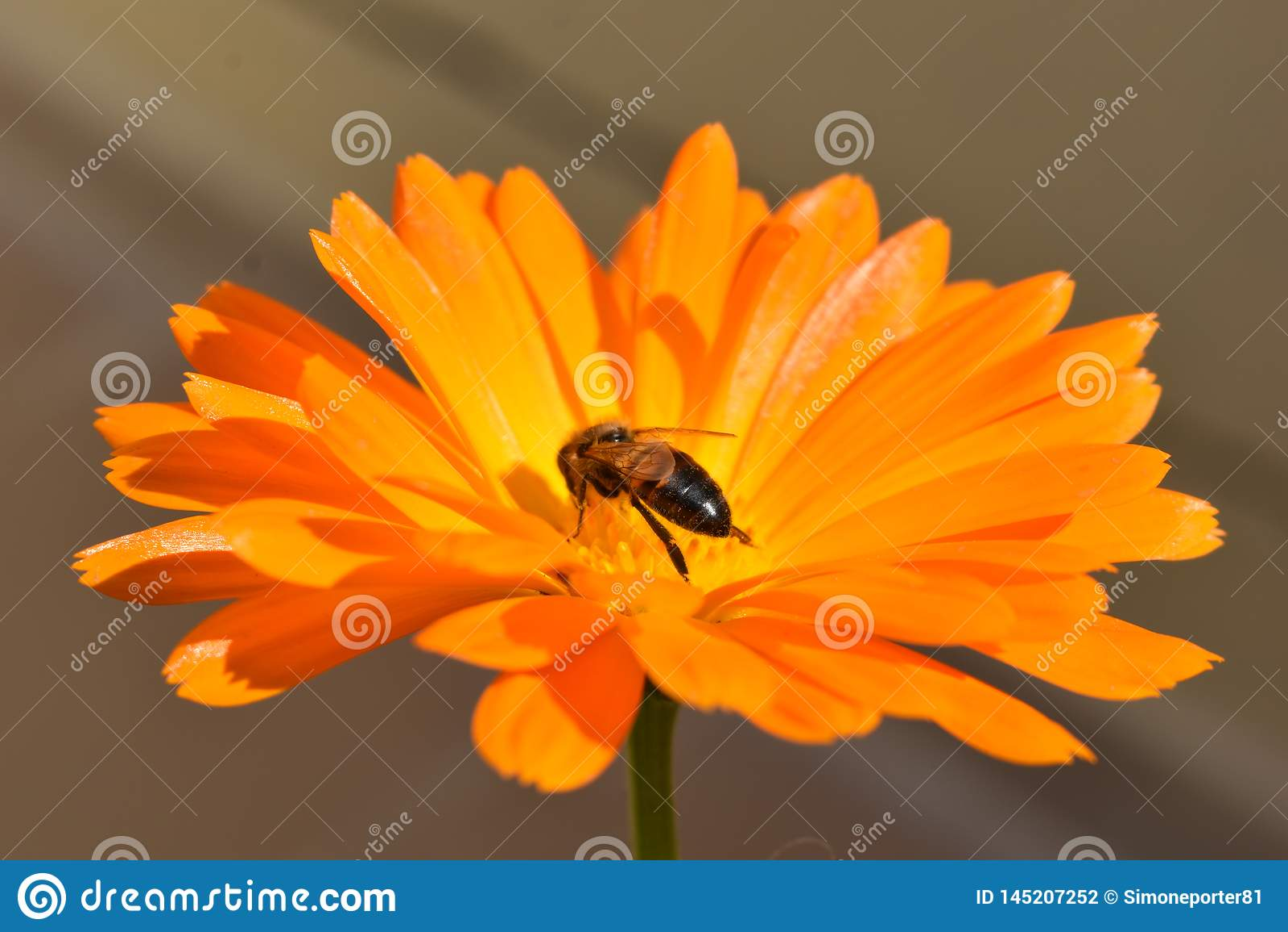 Eine kleine Biene auf einer orange Blume