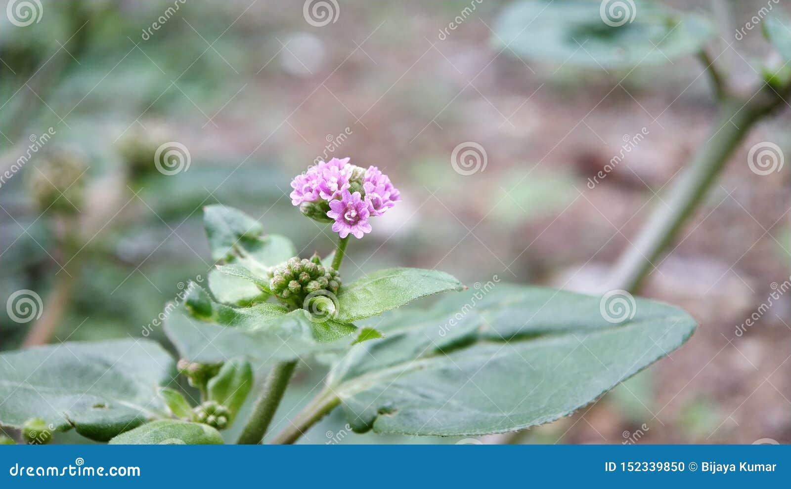 Eine kleine unbekannte hellrosa Blume i sehen im Wald, extremer Makroschuß