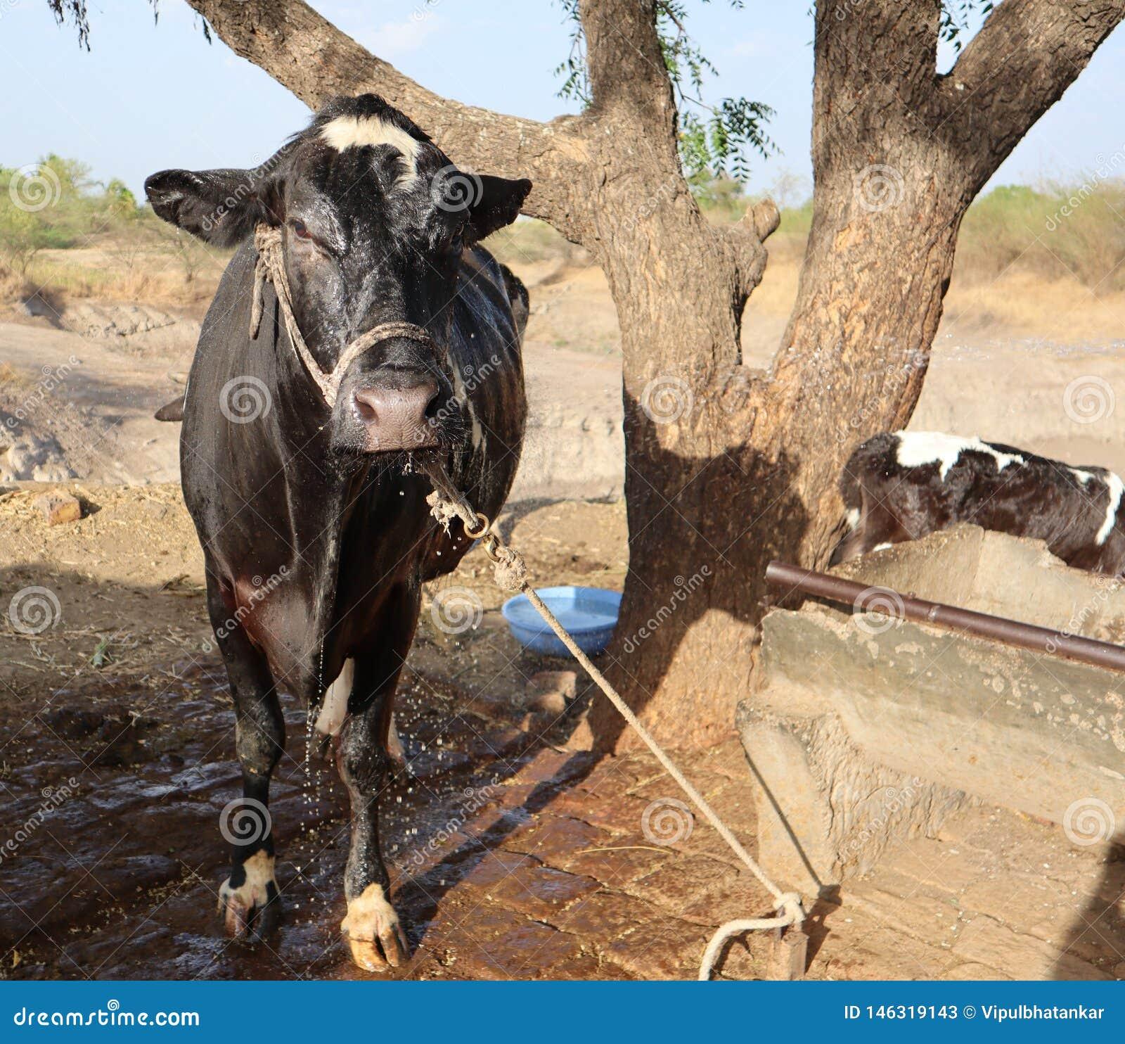 Eine Kuh durchnäßt im Wasser nach Bad