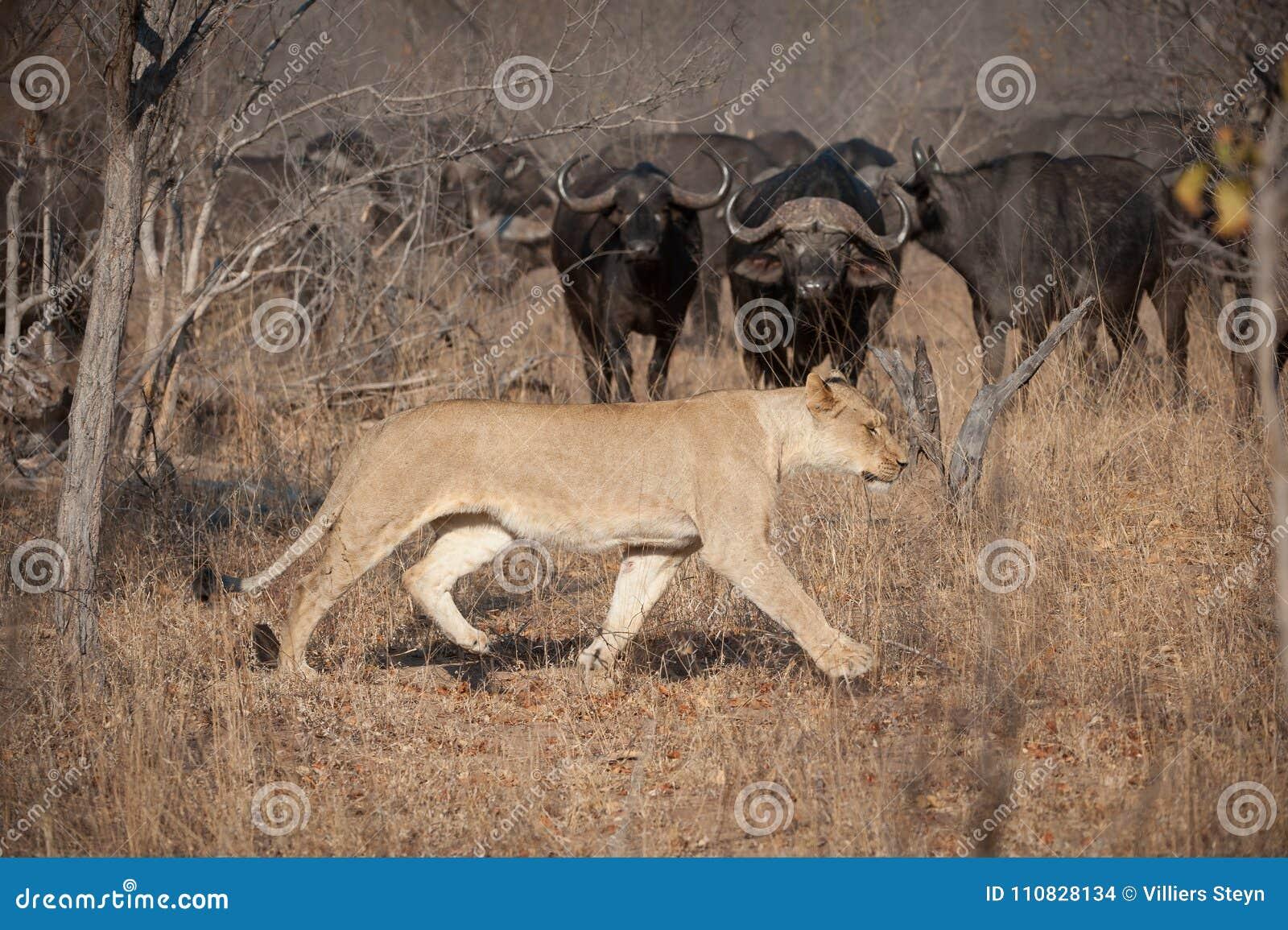 Eine Löwin, die durch trockenes Gras während eine Herde von Büffeluhren vorsichtig geht