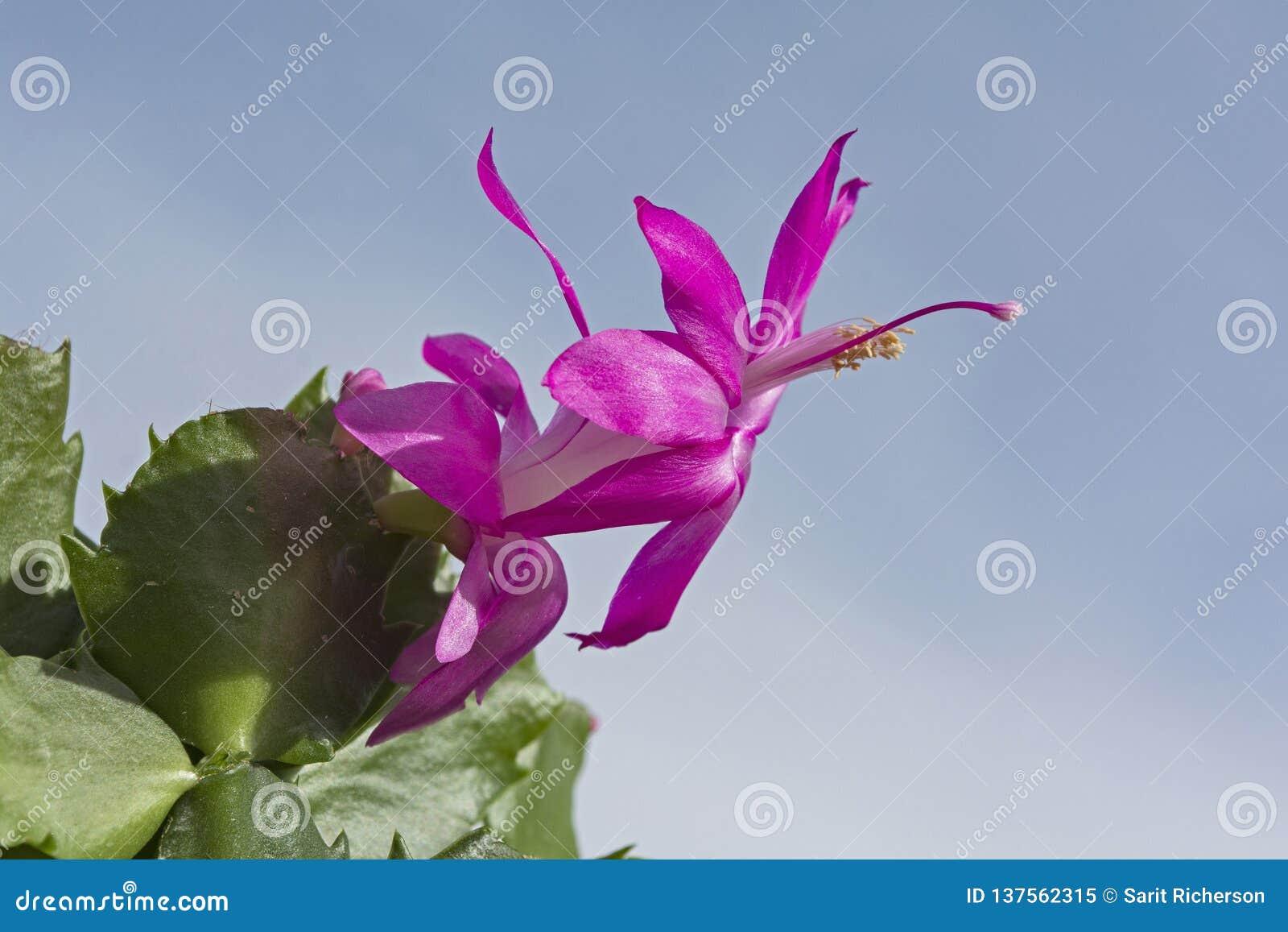 Eine magentarote Weihnachtskaktuss-Blume gegen einen blauen Himmel
