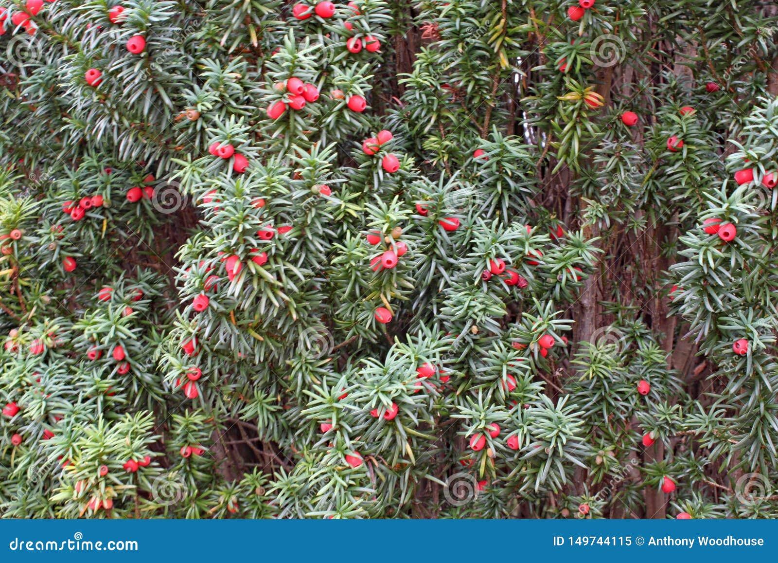Eine Masse von den Eibenbaumbeeren, die auf einem Baum wachsen