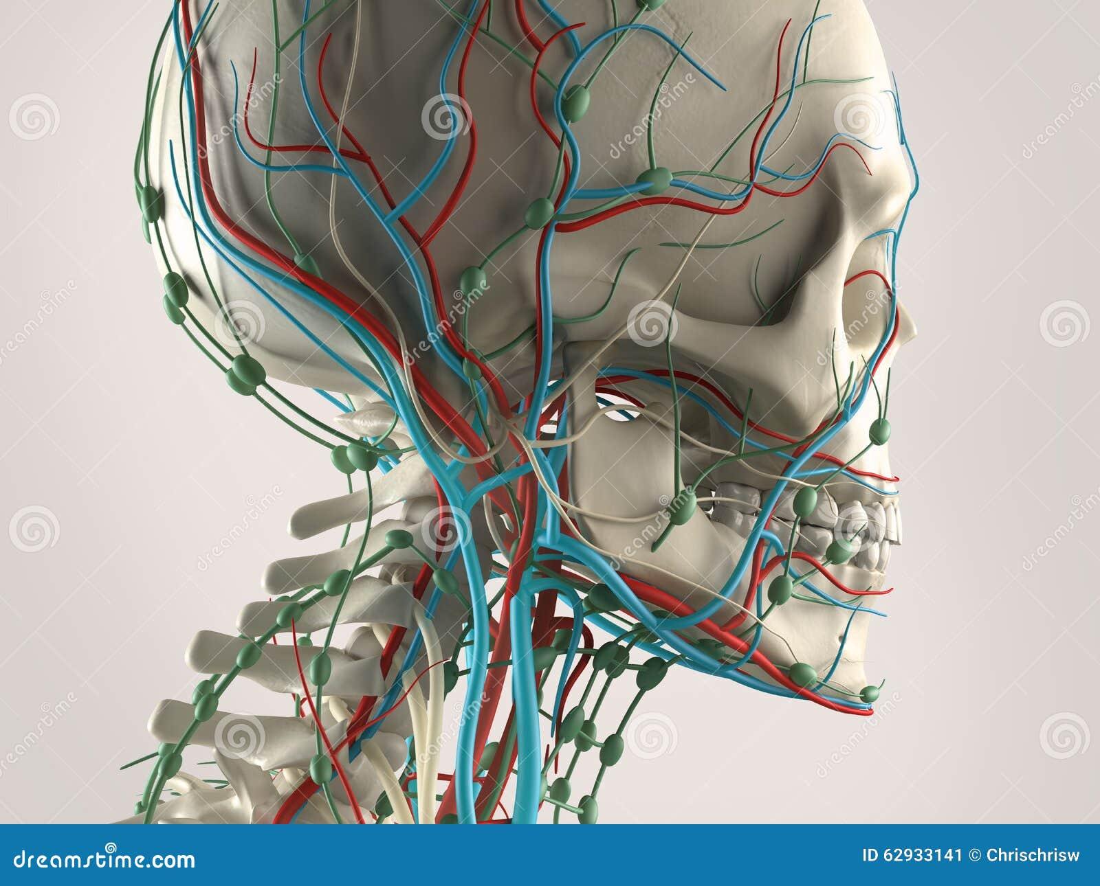 Eine Menschliche Anatomie Mit Blick Auf Kopf, Das Skelett Und Das ...