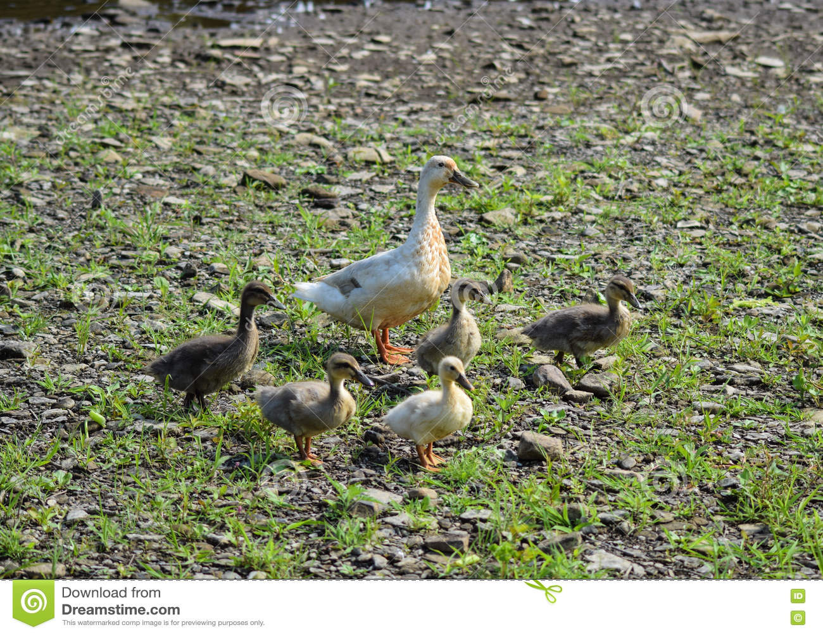 Eine Mutterente und ihre Entlein