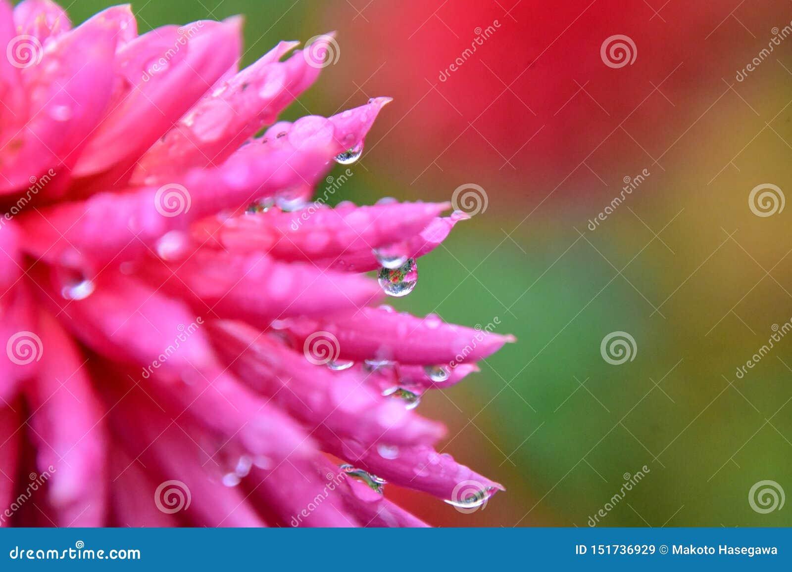 Eine Nahaufnahme der Dahlienblume gleich nach dem Regen