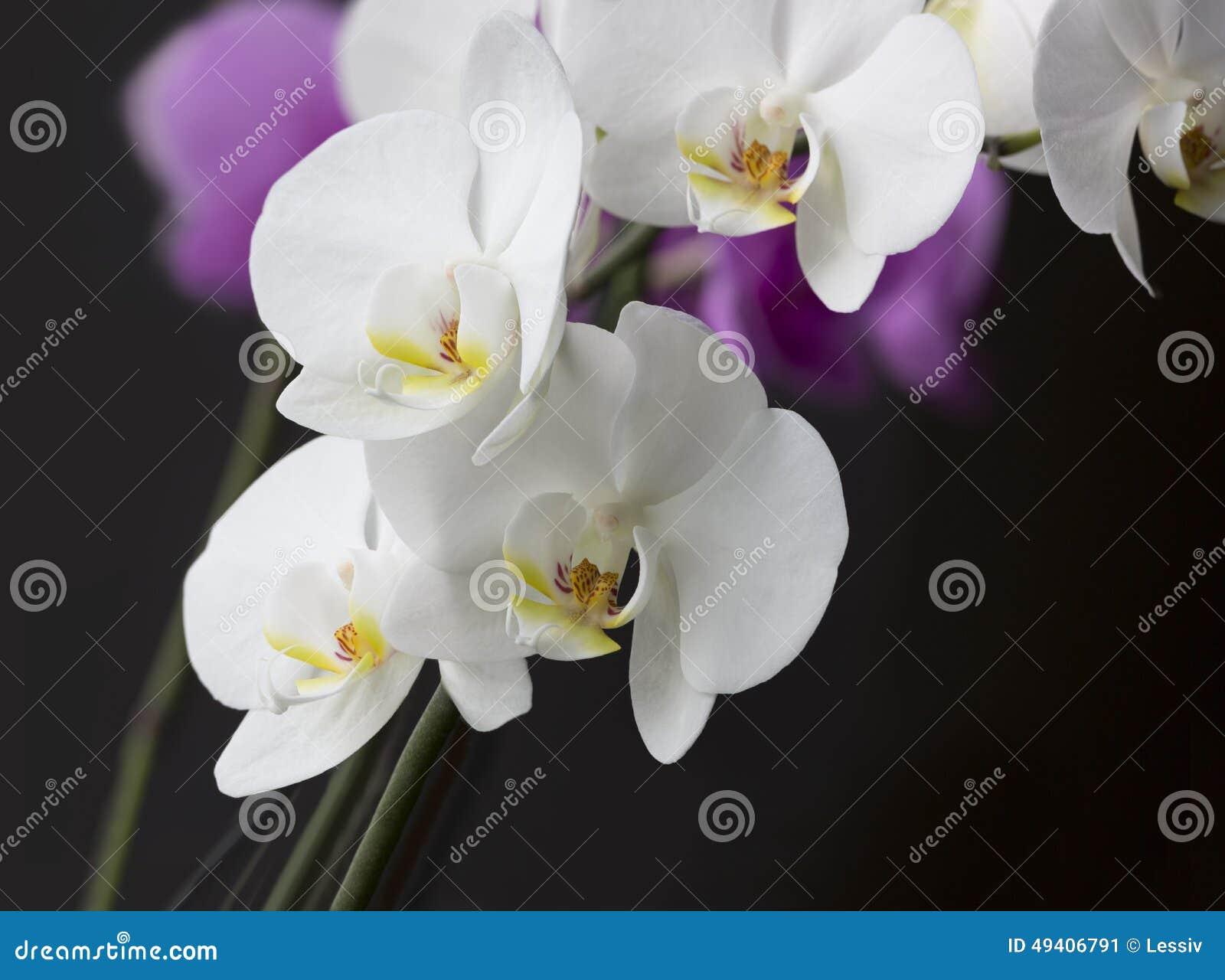 Download Eine Orchidee stockbild. Bild von zerbrechlich, blume - 49406791