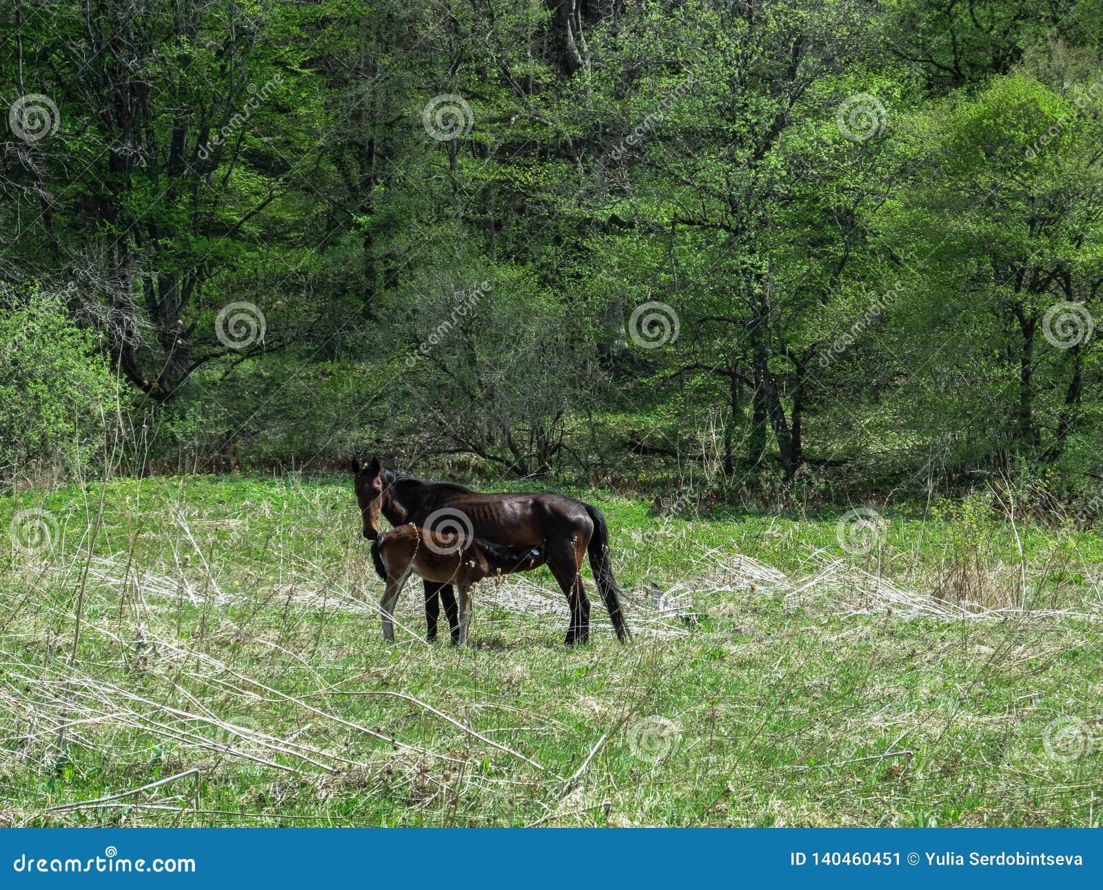 Eine Rappe zieht sein Fohlen auf einer Frühlingsgrünwiese im Wald ein