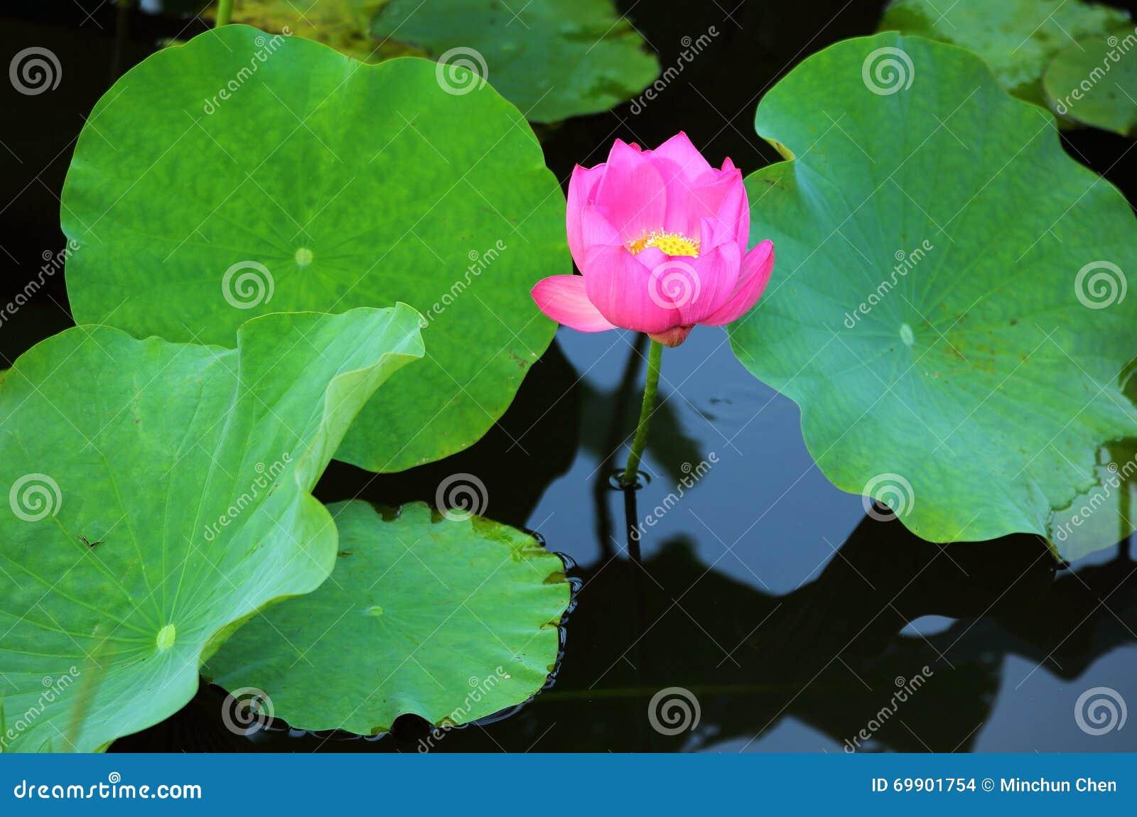 Eine rosa Lotosblume, die unter Stoff blüht, verlässt in einem Teich mit Reflexionen auf dem glatten Wasser