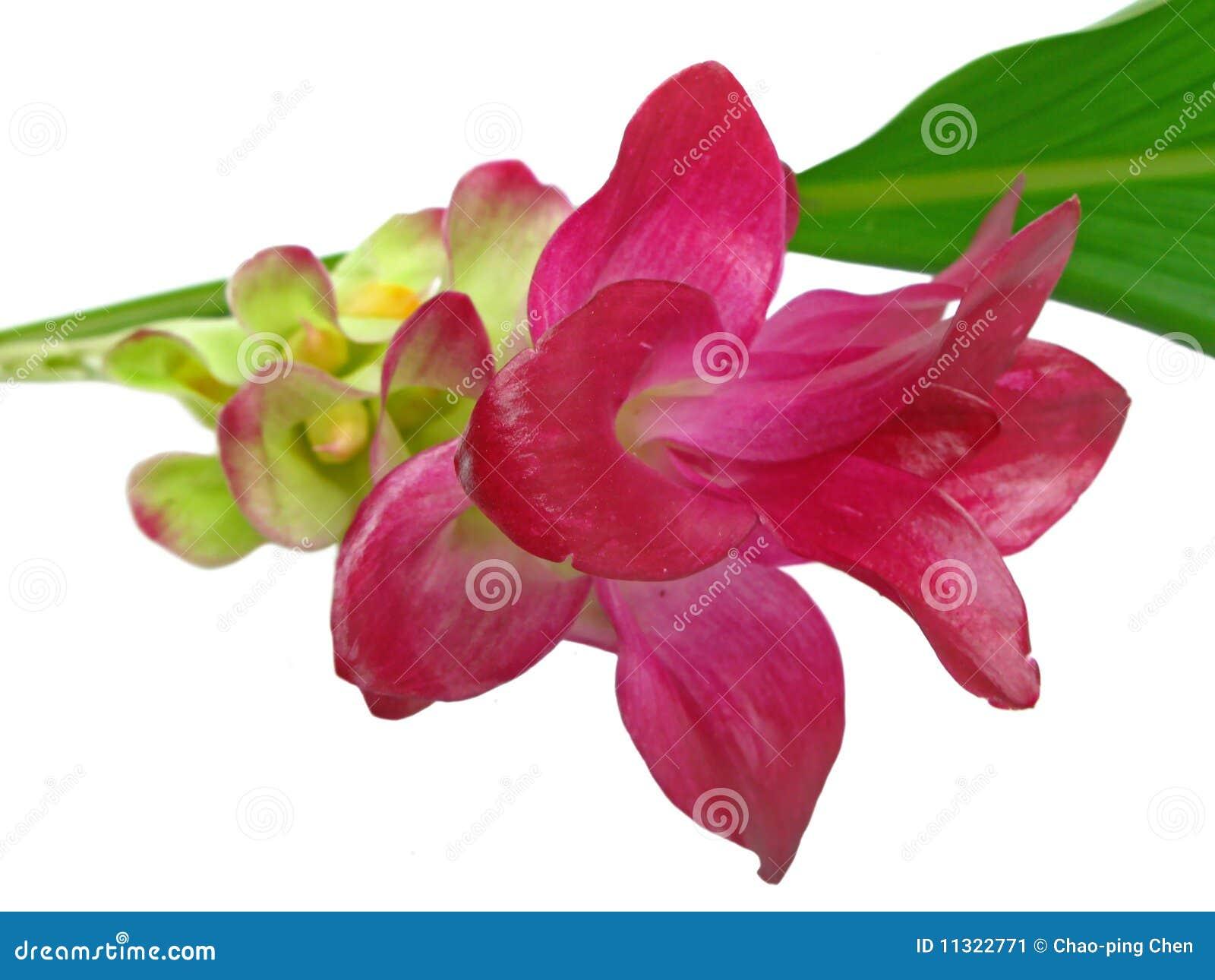 Eine rosafarbene ?Gelbwurz? Blume