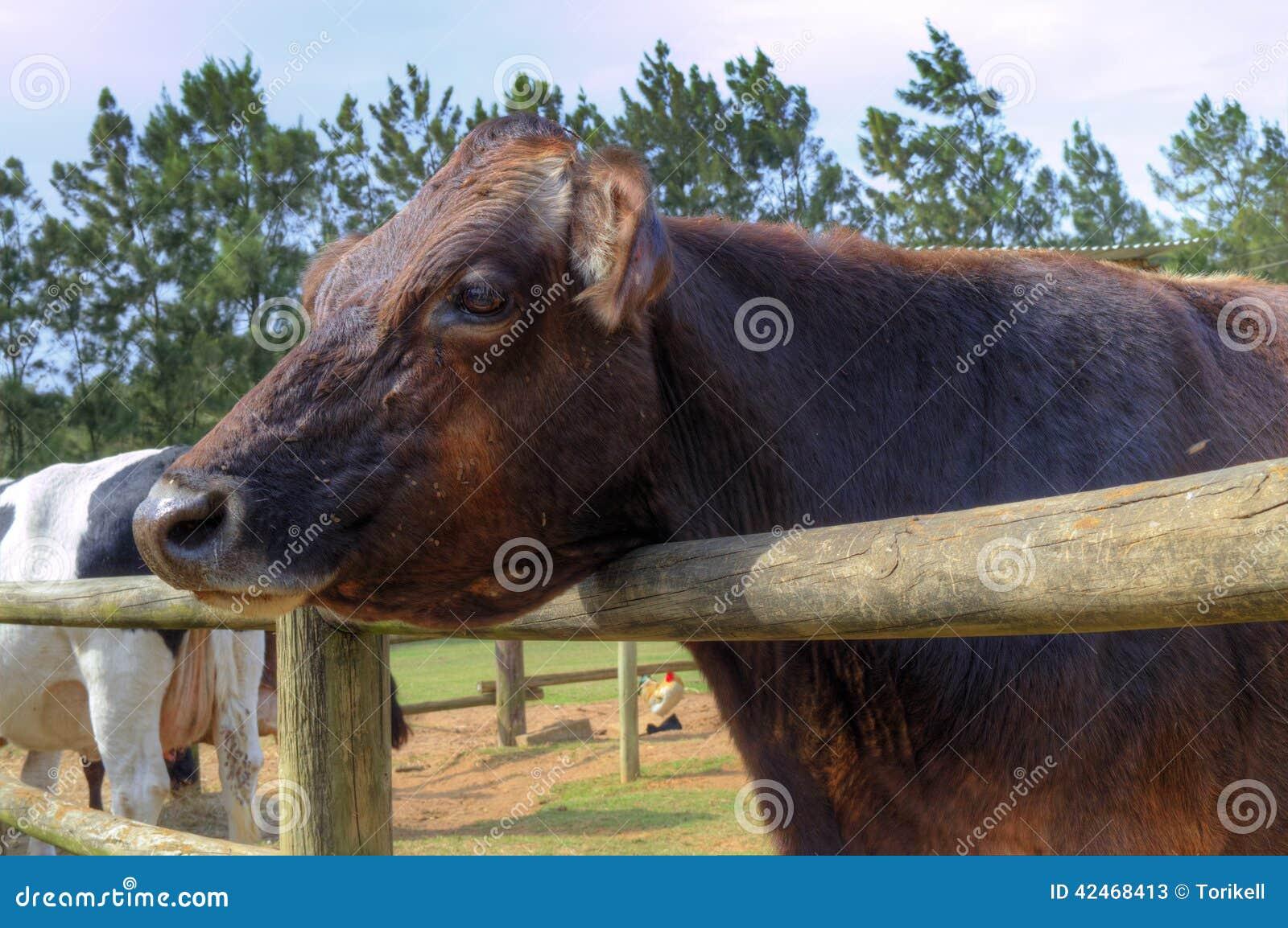 Eine rote Kuh wartet geduldig eine Festlichkeit