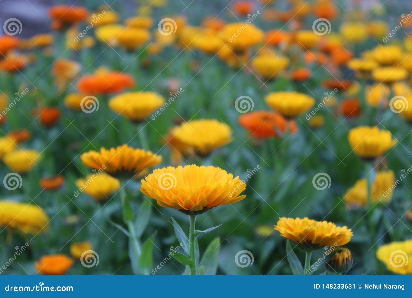 Eine schöne gelbe Blume in einem Blumenstrauß im hellen Sonnenlicht im Garten