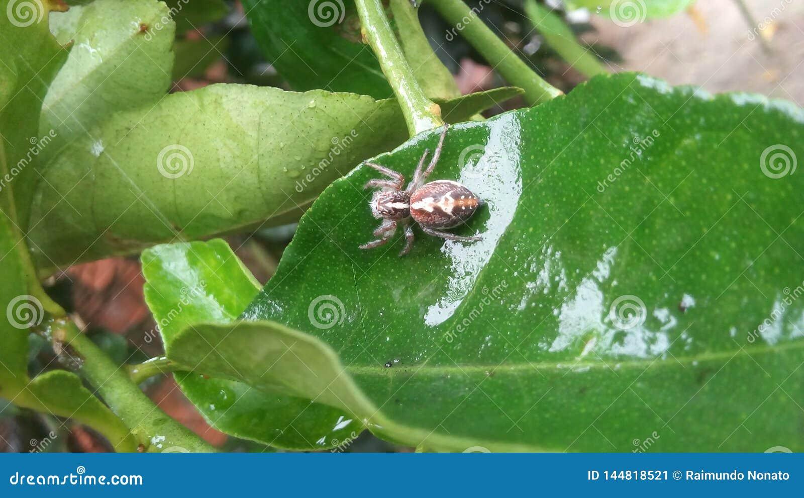 Eine schöne schwangere Spinne