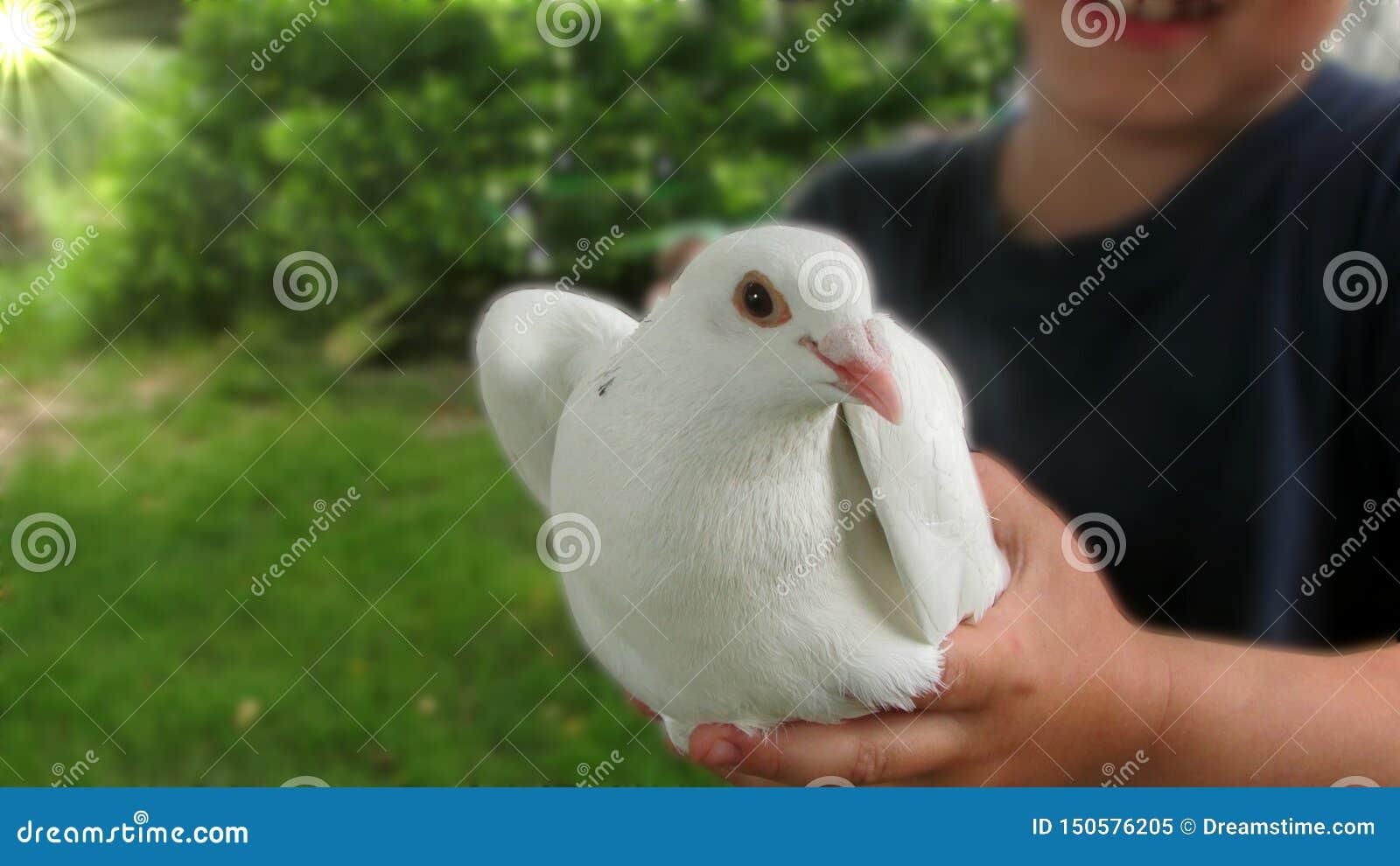 Eine schöne weiße Taube, die in den Händen des Kindes sitzt