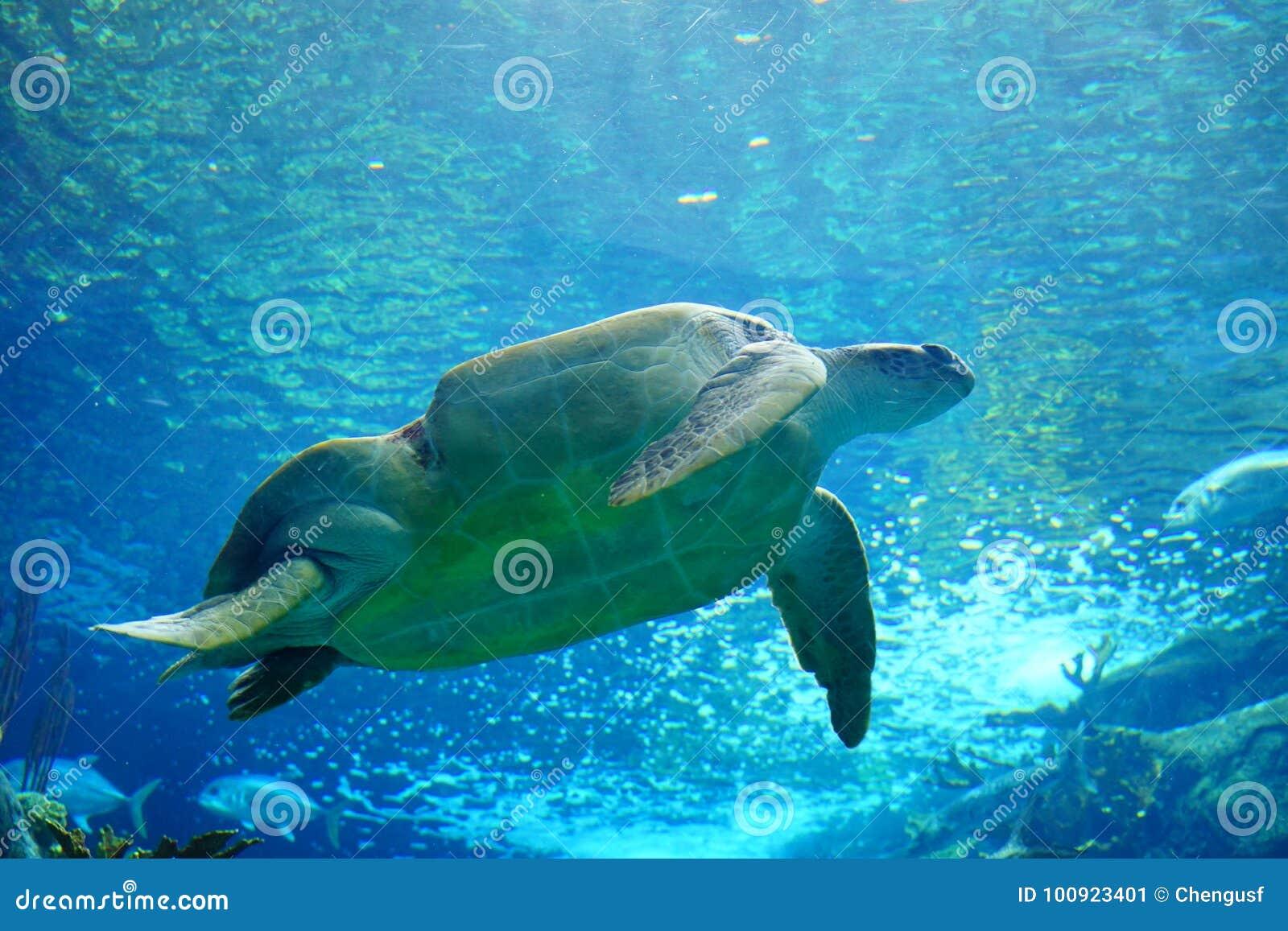 Eine Schildkröte schwimmt