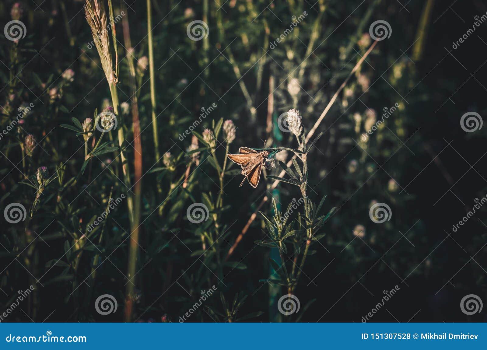 Eine seltene Motte sitzt auf einem Blatt Festungswald-Carterocephalus-silvicolus in einer Wiese von Feldgräsern im warmen Sonnens