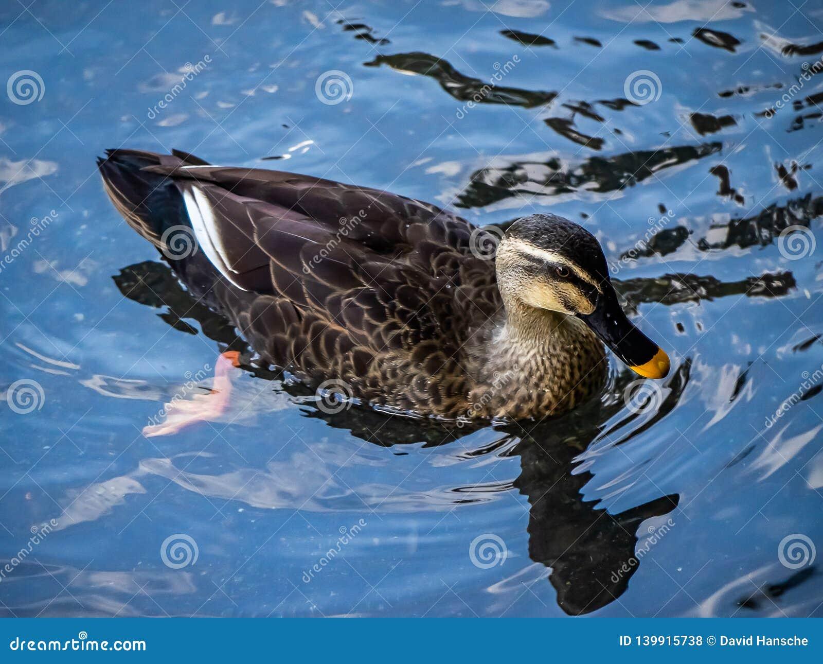 Eine Stelle berechnete Ente in einem japanischen Teich 2