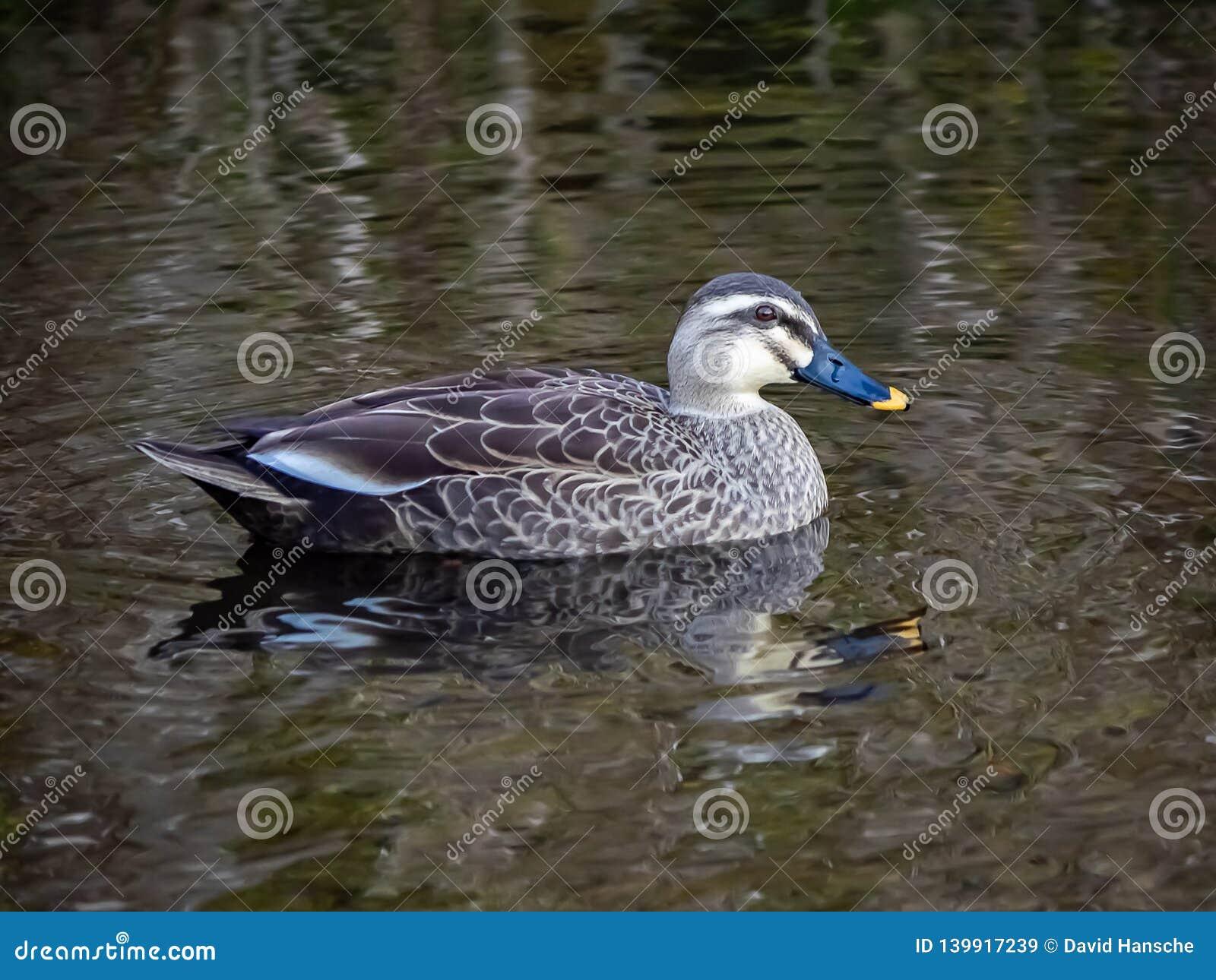 Eine Stelle berechnete Ente in einem japanischen Teich 5
