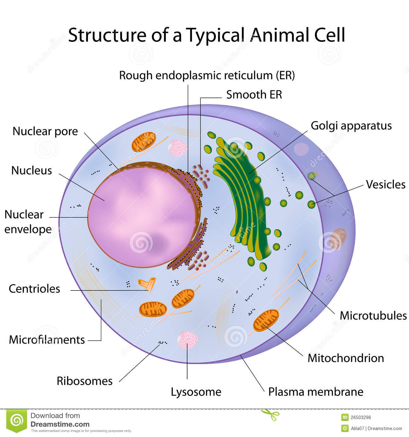 3d Animal Cell Diagram Cytoskeleton Mtm Plant 7th Grade Images Pictures Becuo Free