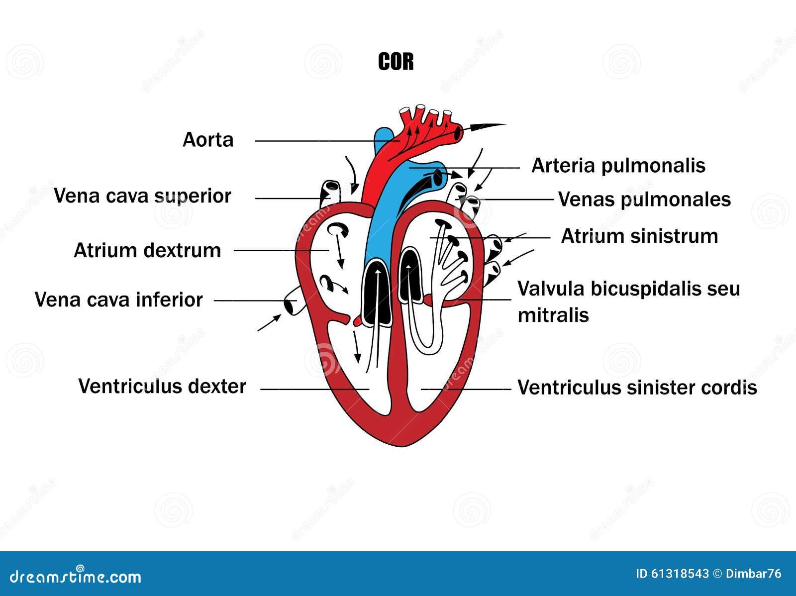Atemberaubend Anatomie Des Herzens Diagramm Bilder - Menschliche ...
