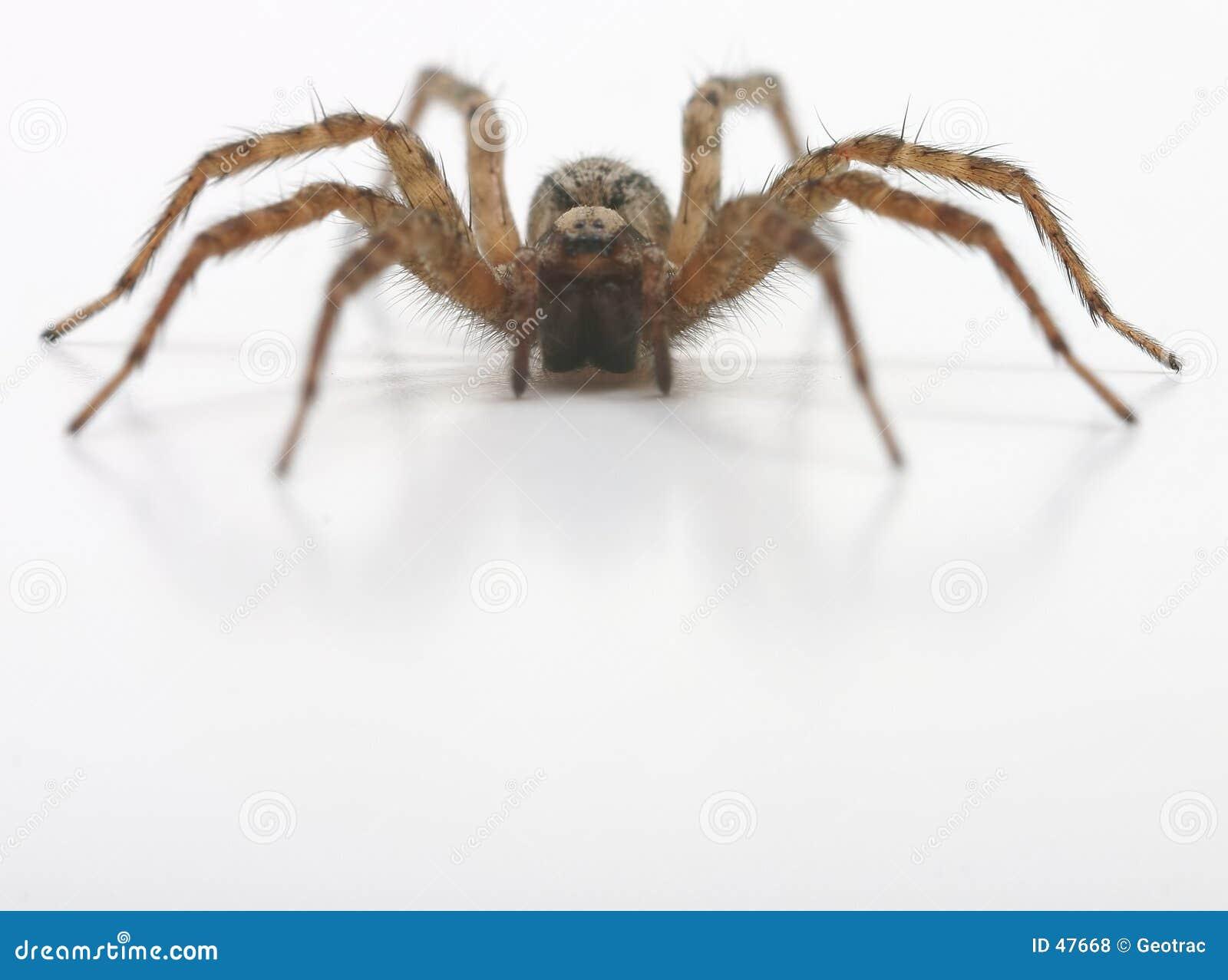 Eine Vorderansicht der Spinne