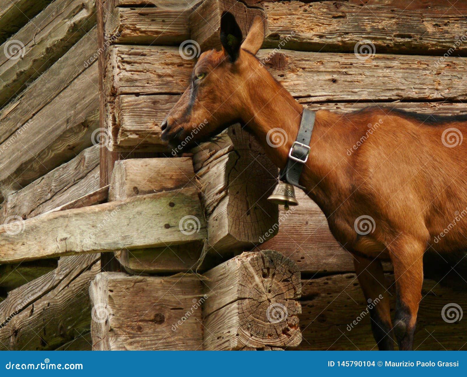 Eine Ziege vor dem hintergrund einer h?lzernen Wand
