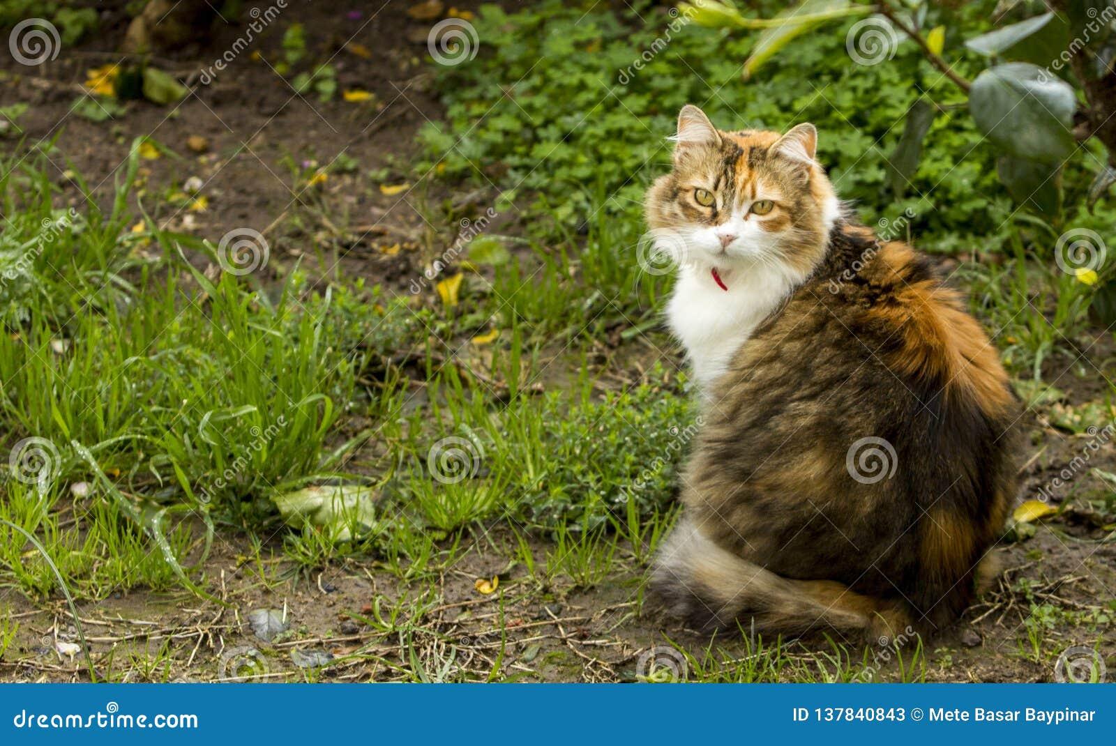 In einem Garten eine dreifarbige Katze mit roten Kragenstarren zurück am Beobachter